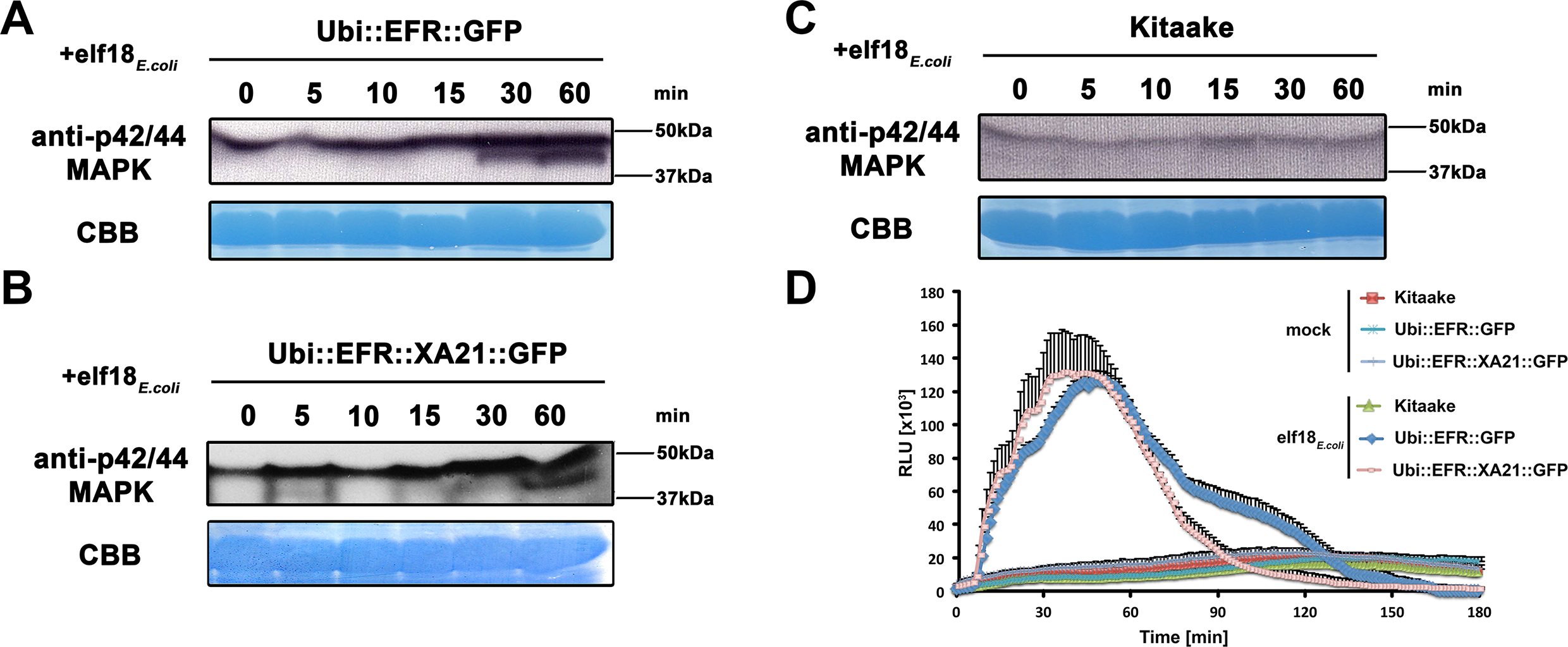 The perception of elf18<sub><i>E</i>.<i>coli</i></sub> in EFR and EFR::XA21 rice plants activates several MAP kinases and ROS production.