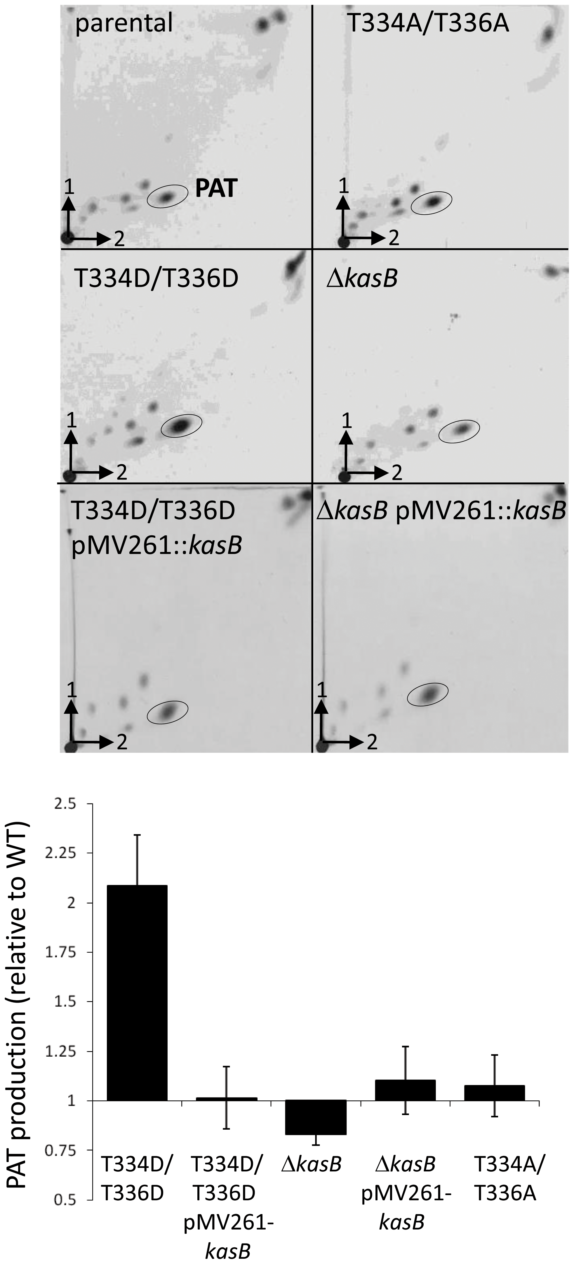 Expression of PAT in the <i>M. tuberculosis kasB</i> variants.