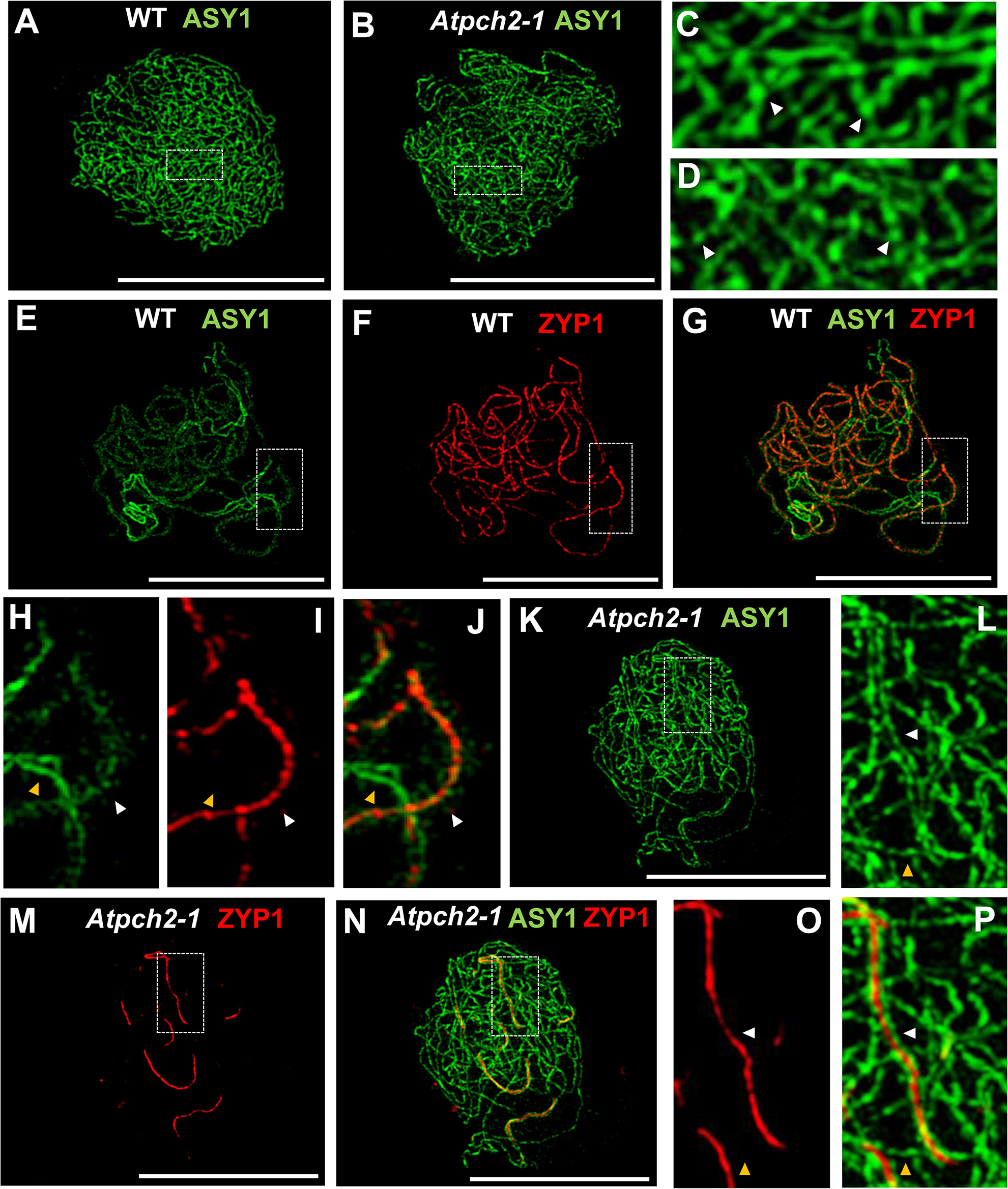 Immunolocalization of ASY1 and ZYP1 in wild type and <i>Atpch2-1</i> during prophase I.