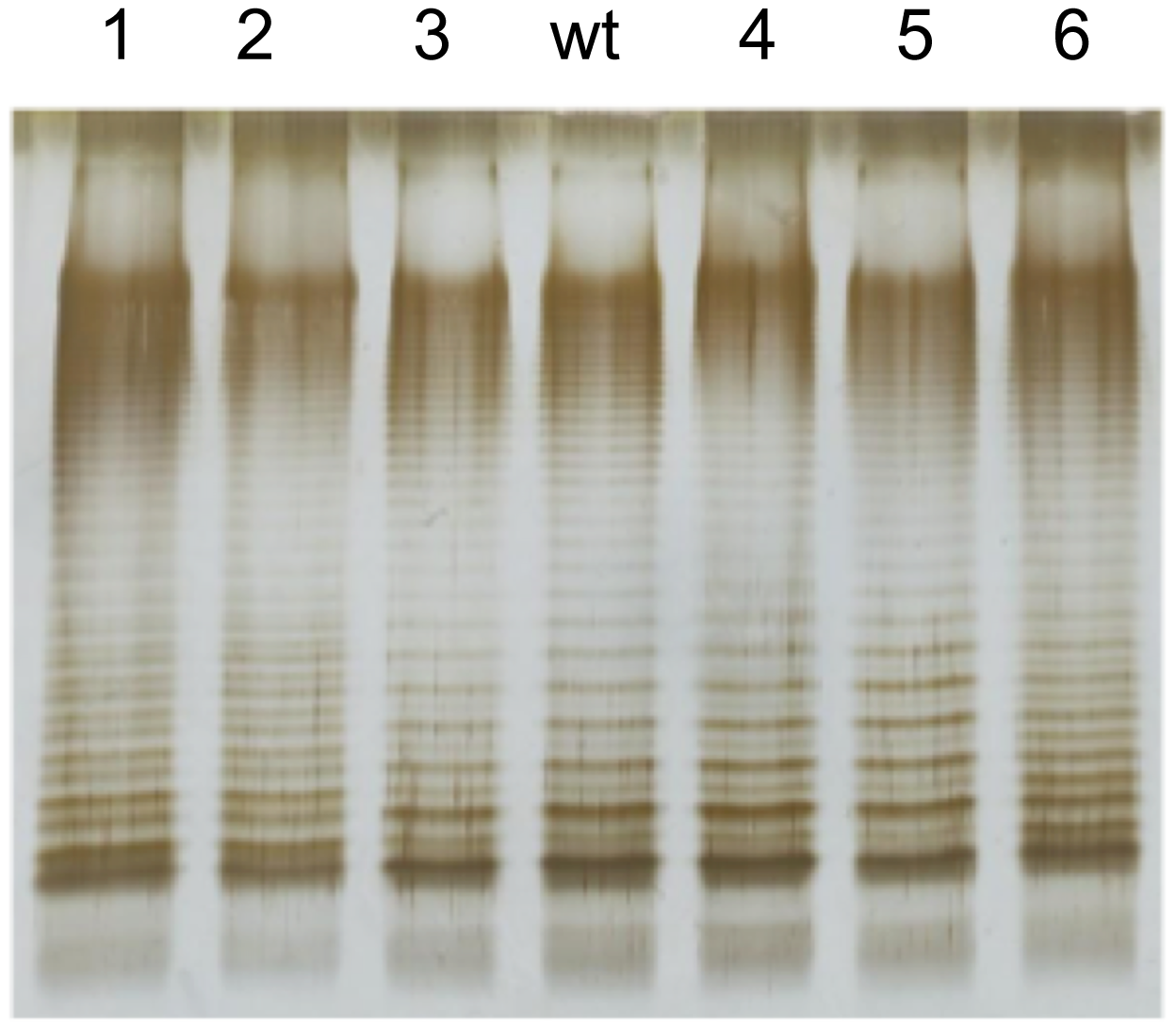 Lipopolysaccharide profiles of bile-resistant derivatives of <i>S. enterica</i> SL1344, as observed by electrophoresis and silver staining.