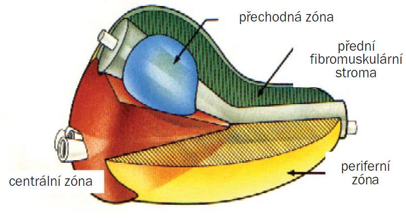 Zonální anatomie prostaty.