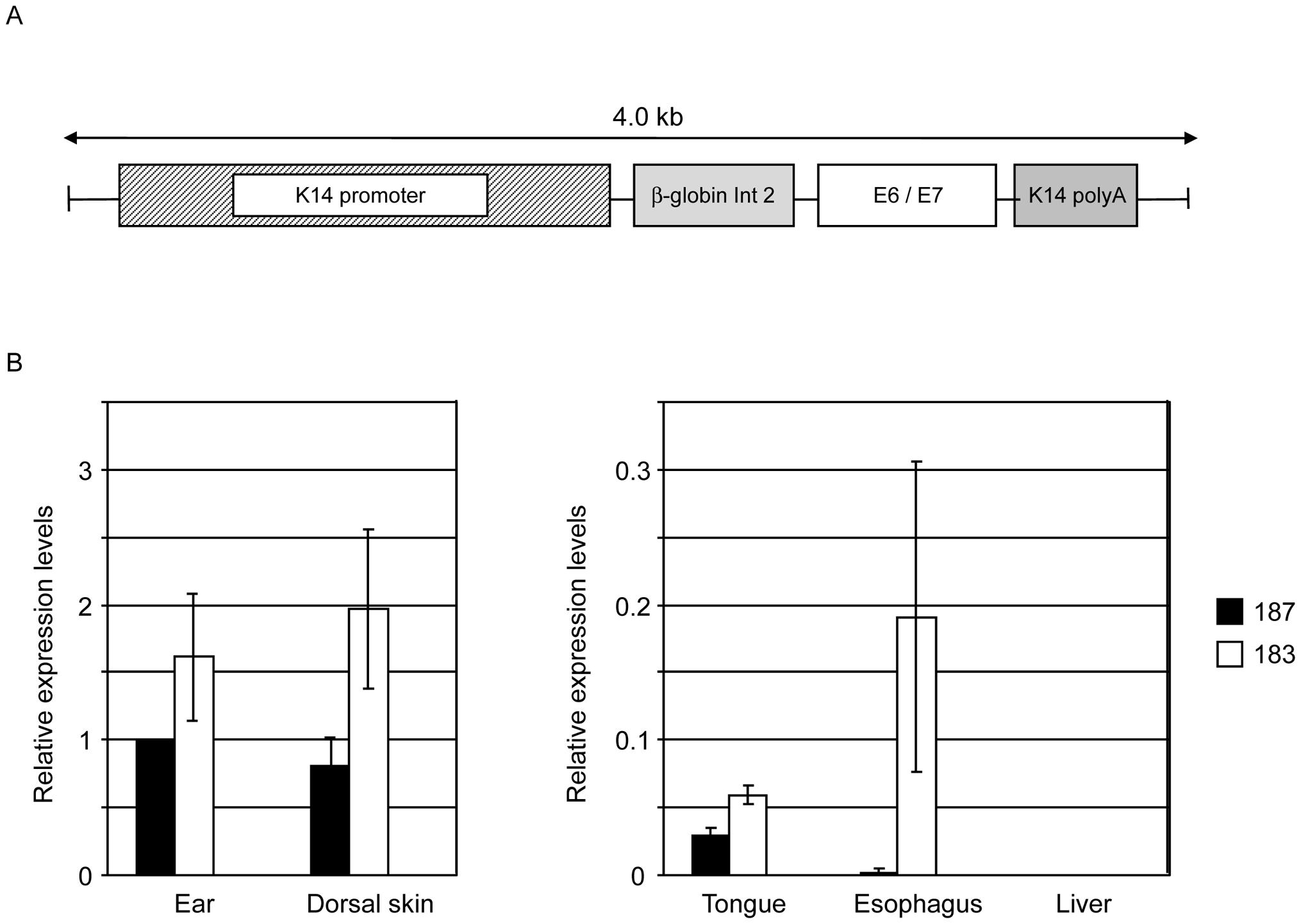HPV38 E6 and E7 expression in Tg mice.