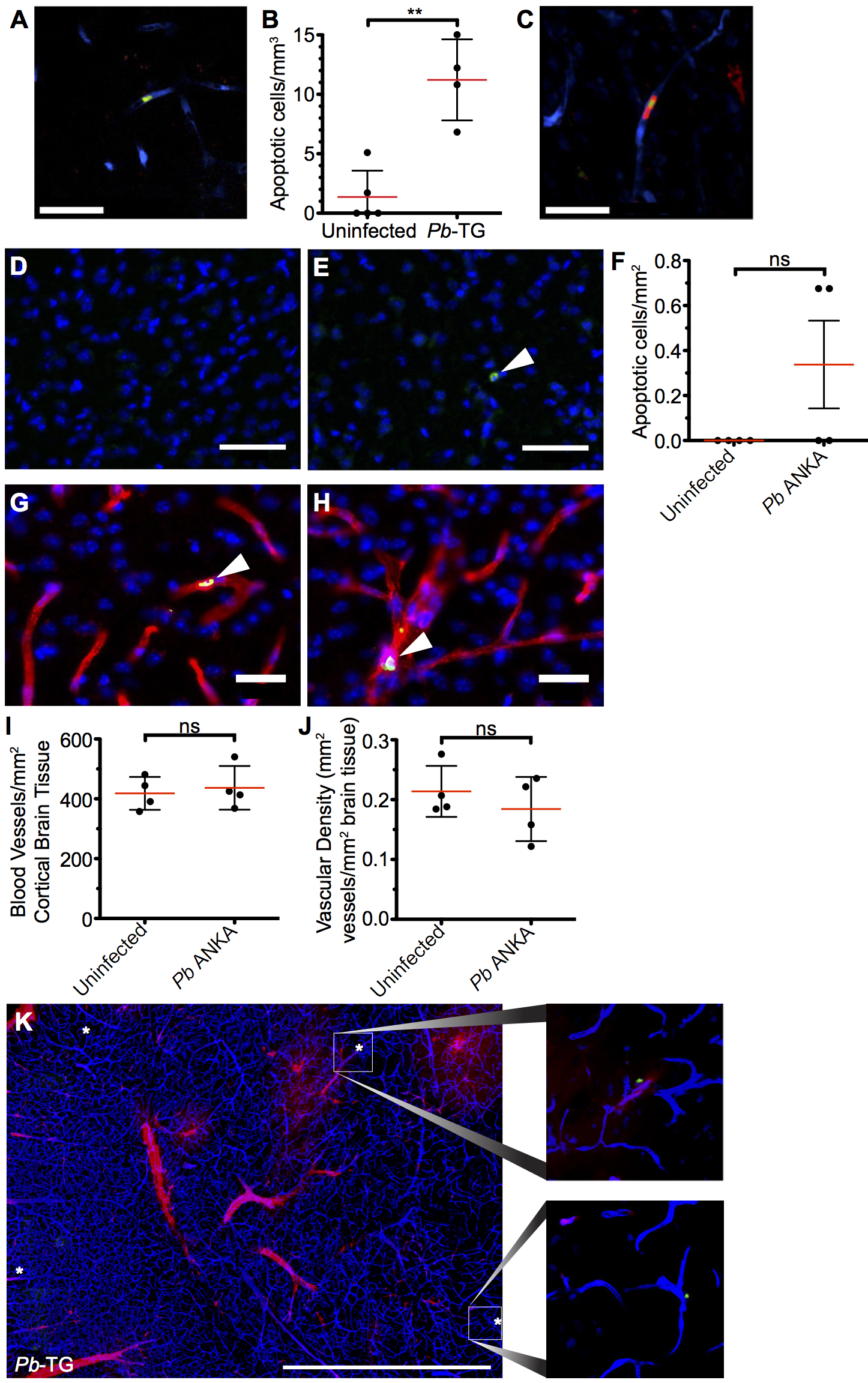 Widespread apoptosis or loss of vasculature does not occur in the brains of mice with ECM.