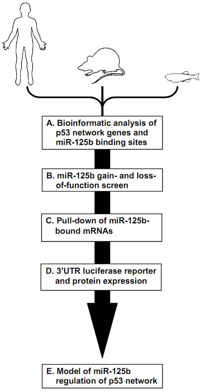 Identifying miR-125b targets in the p53 network of vertebrates.