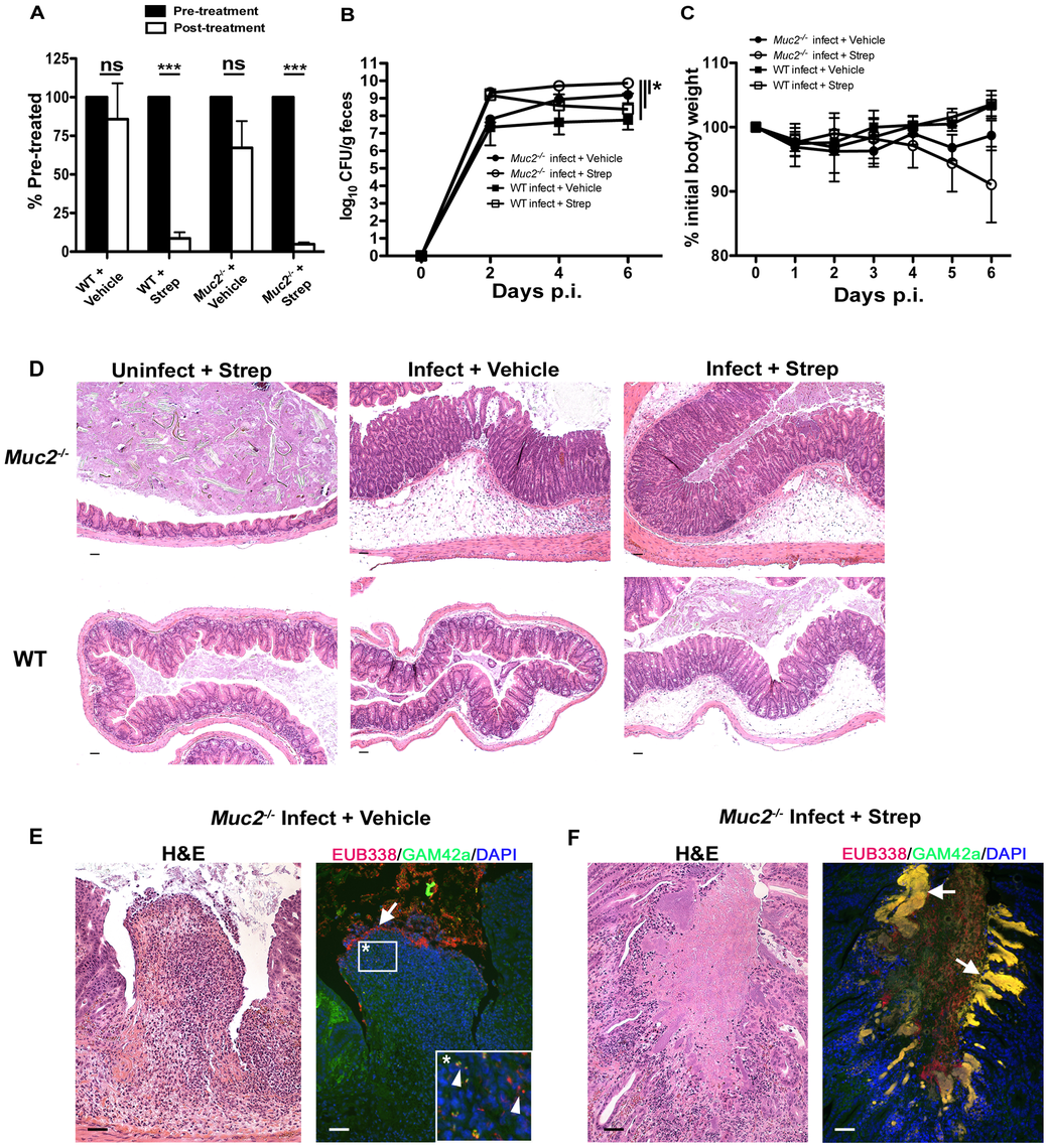 Antibiotic induced commensal depletion enhances pathogen colonization but does not alter host pathology in <i>Muc2<sup>−/−</sup></i> mice.