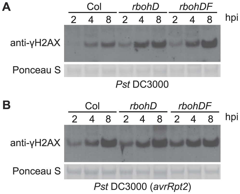 <i>Pst</i>-induced γ-H2AX accumulation is independent of <i>Pst</i>-triggered ROS production.