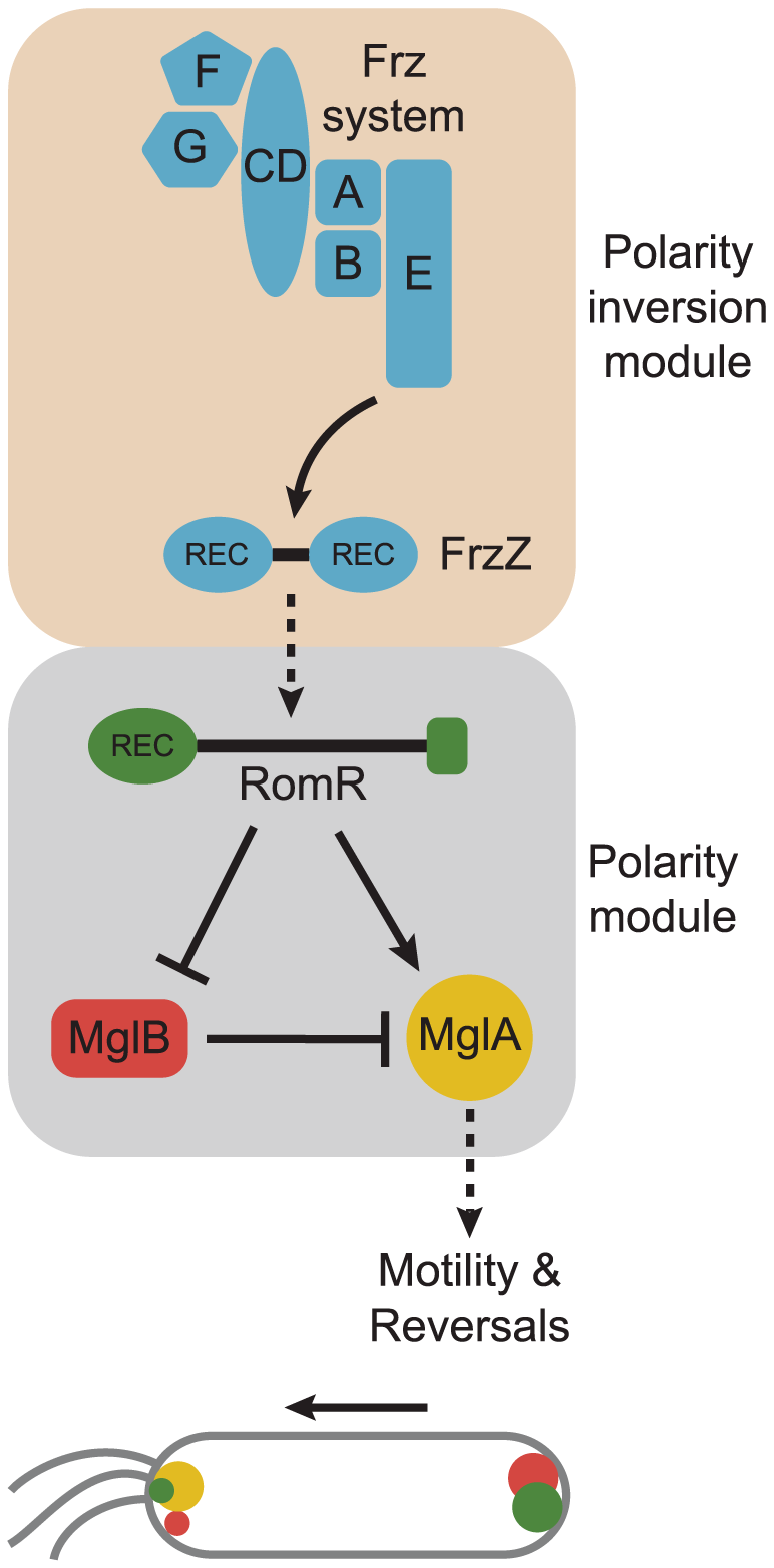 Model for dynamic cell polarity regulation in <i>M. xanthus</i>.