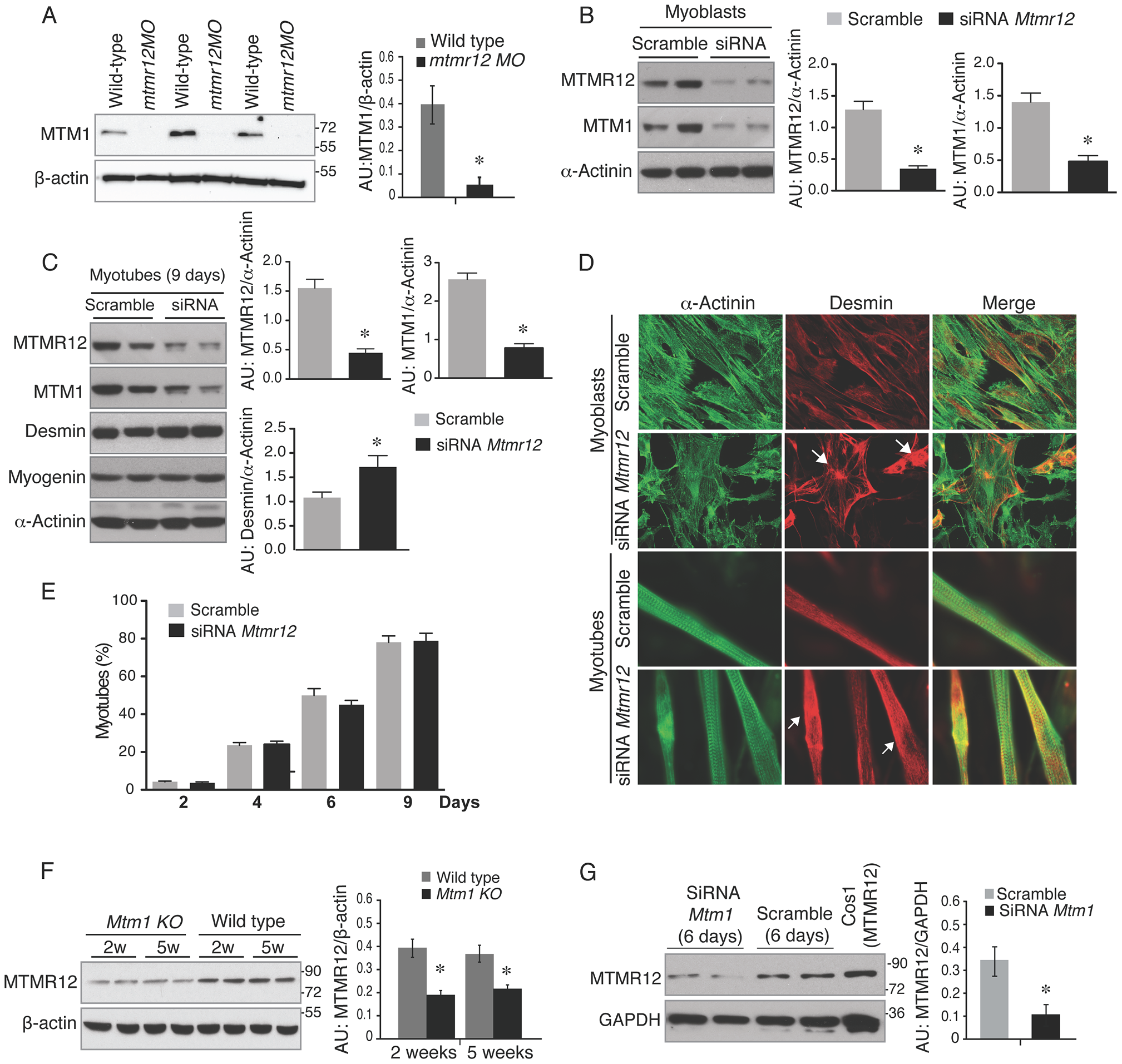 Loss of protein stability in the absence of myotubularin-MTMR12 interactions.