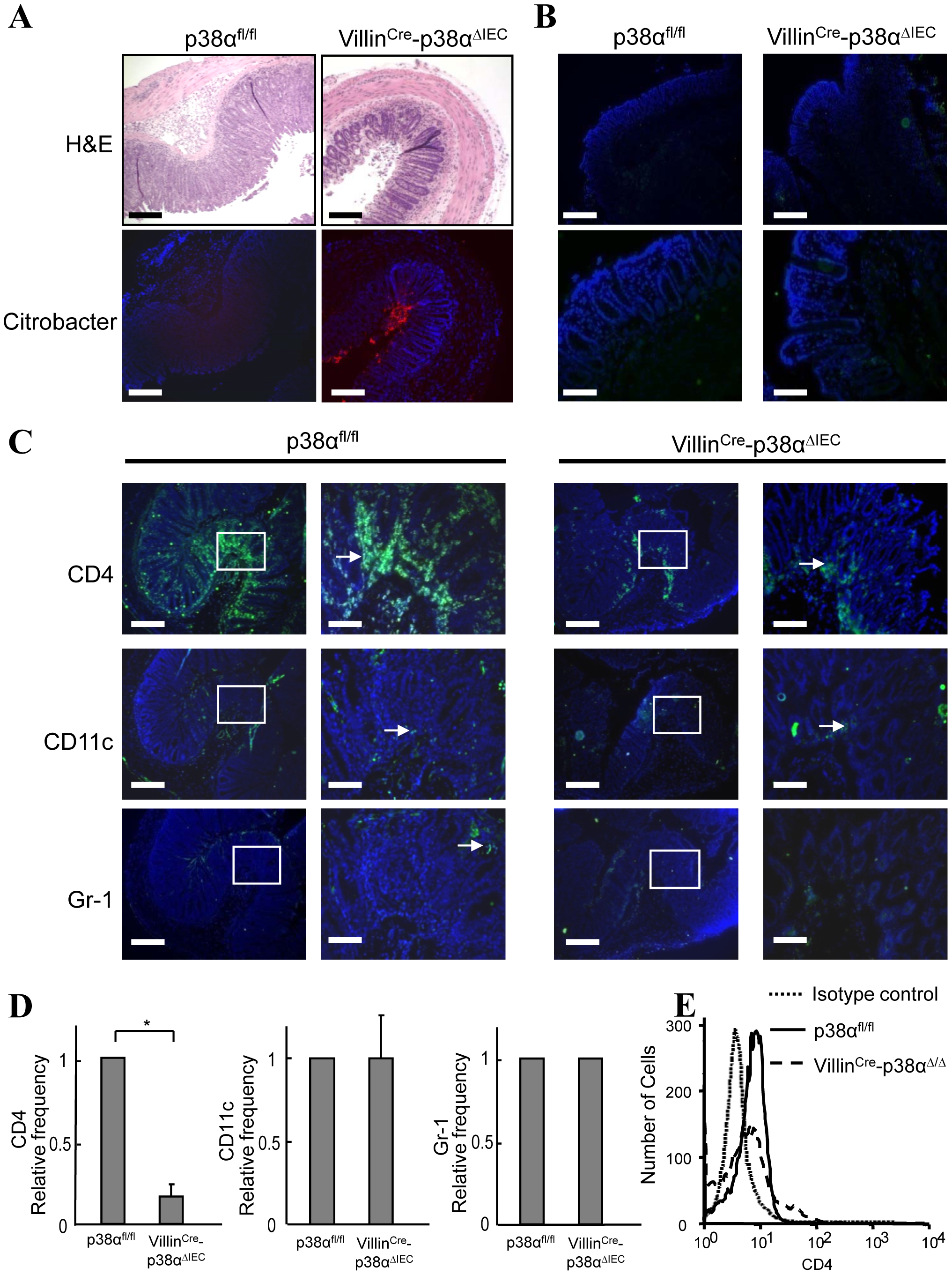 p38α in intestinal epithelial cells is required for chemokine expression and to recruit immune cells into the colon mucosa after <i>C. rodentium</i> infection.