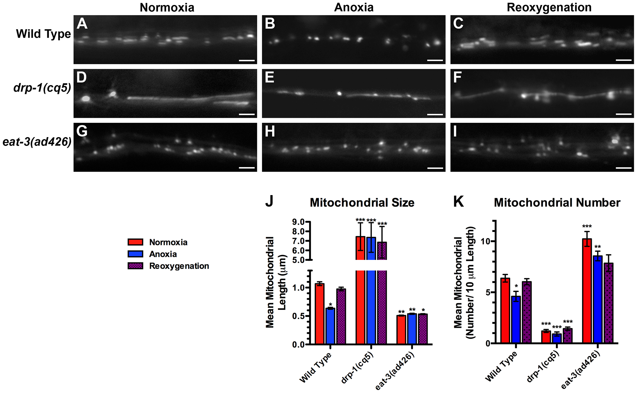 Anoxia promotes DRP-1-dependent mitochondrial fission.