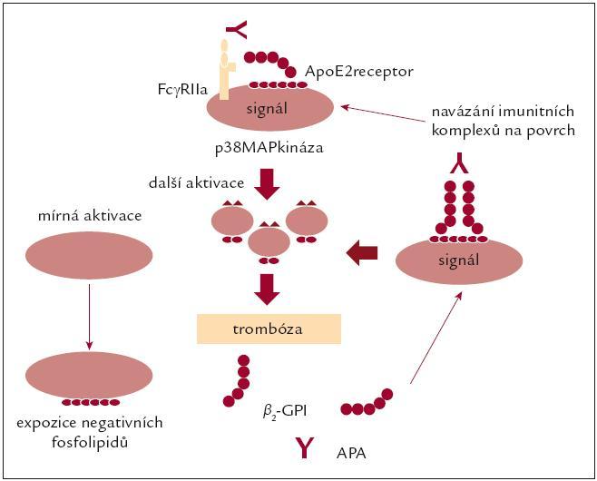 Působení antifosfolipidových protilátek na trombocyty. Upraveno podle [21].