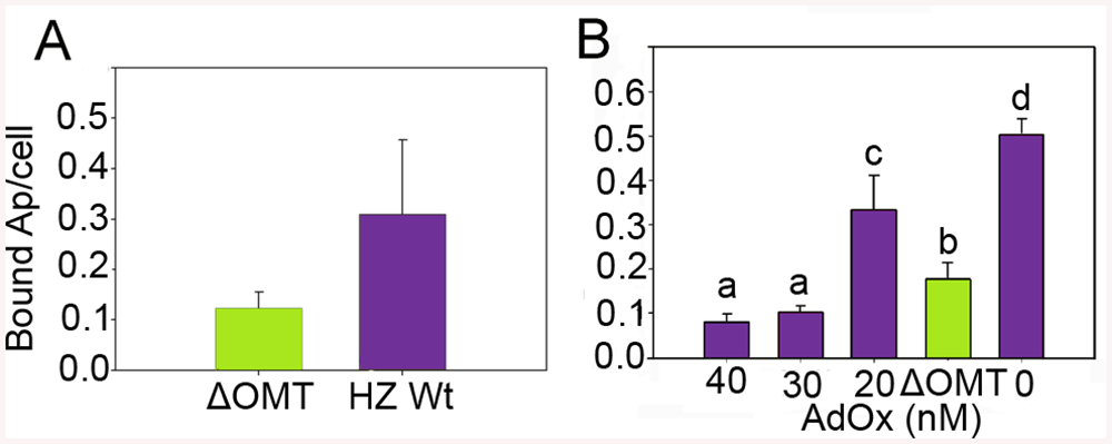 Reduced binding of <i>A</i>. <i>phagocytophilum</i> to ISE6 cells caused by <i>omt</i> mutation or inhibition with AdOx.