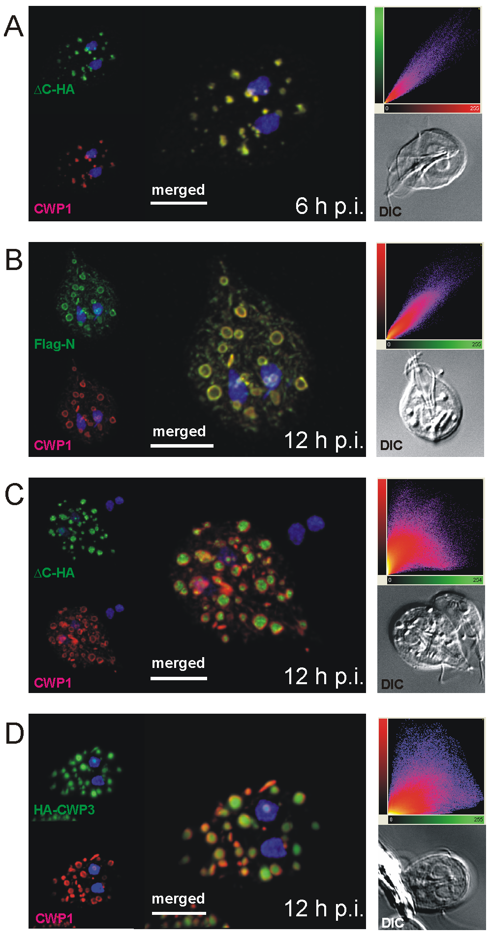 Confocal microscopy of Flag-CWP2-HA and HA-CWP3 reporters in representative cells during early stages of encystation.