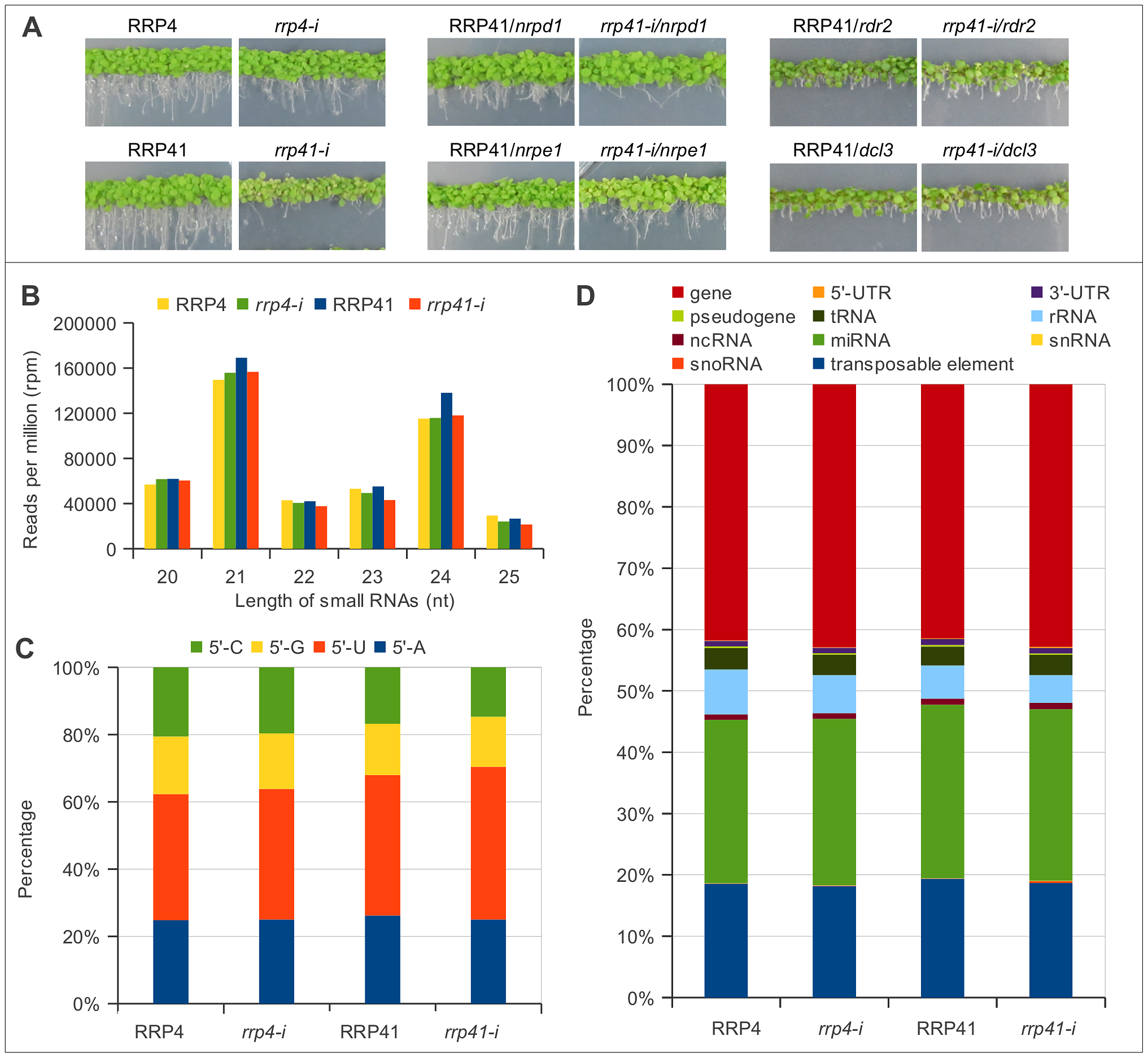 Characterization of up-regulated loci and smRNA populations upon depletion of exosome subunits RRP4 and RRP41.
