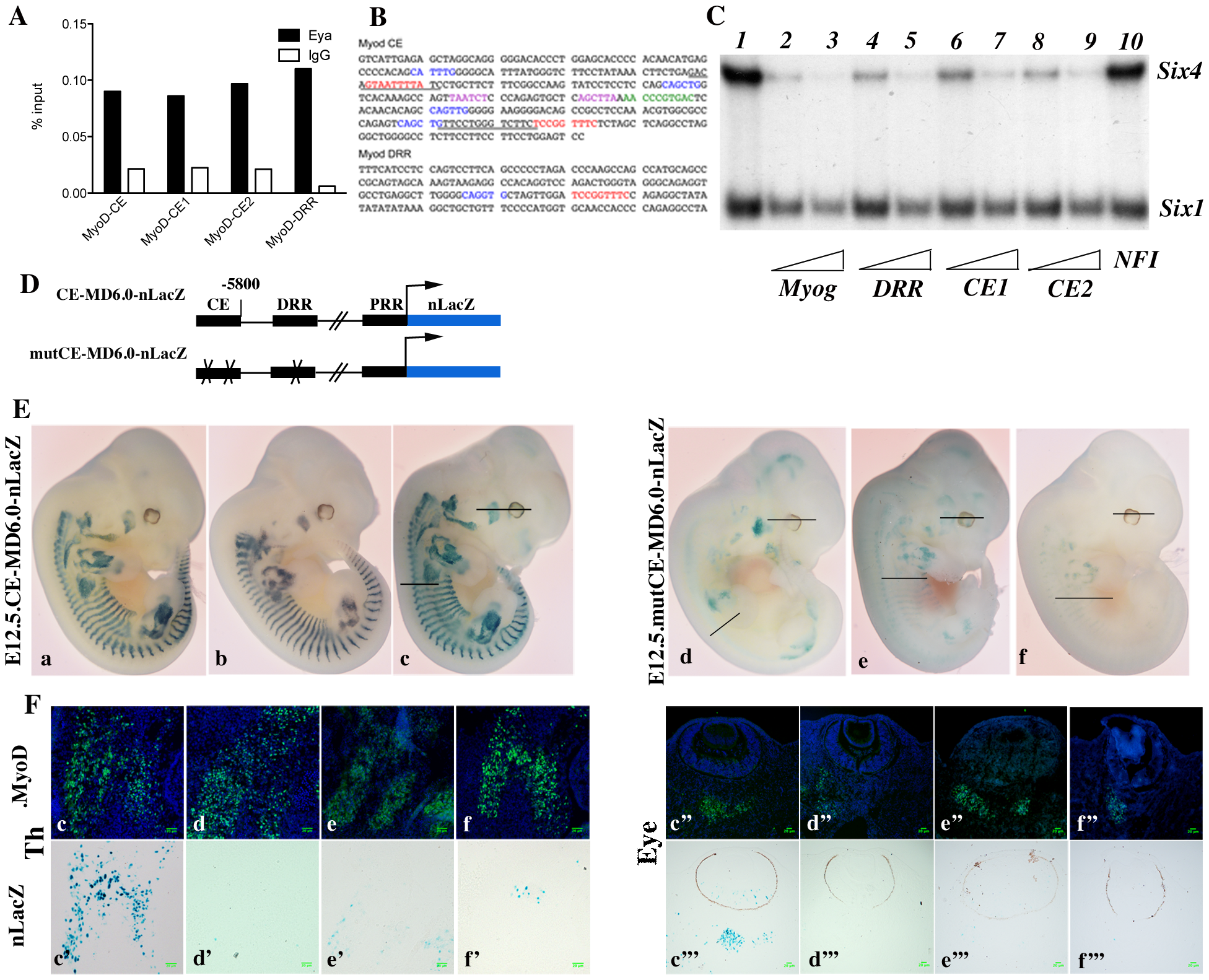 Six proteins are required for <i>Myod</i> expression in the mouse embryo.