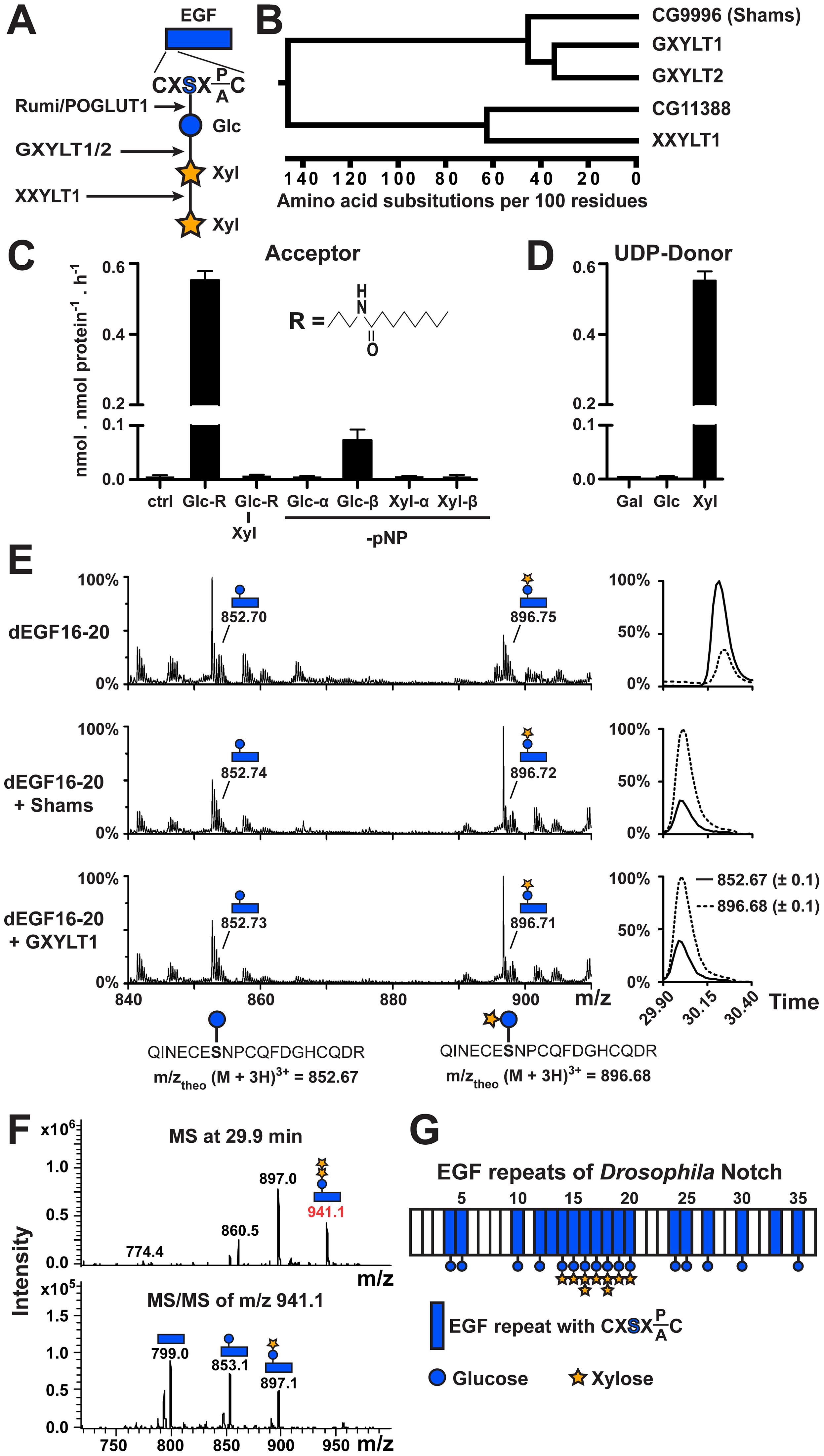 Shams functions as a glucoside xylosyltransferase on Notch.