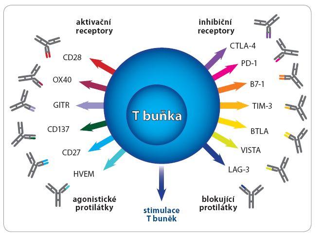 T buňky jsou ovlivňovány řadou pozitivních a negativních signálů (upraveno dle [21]).