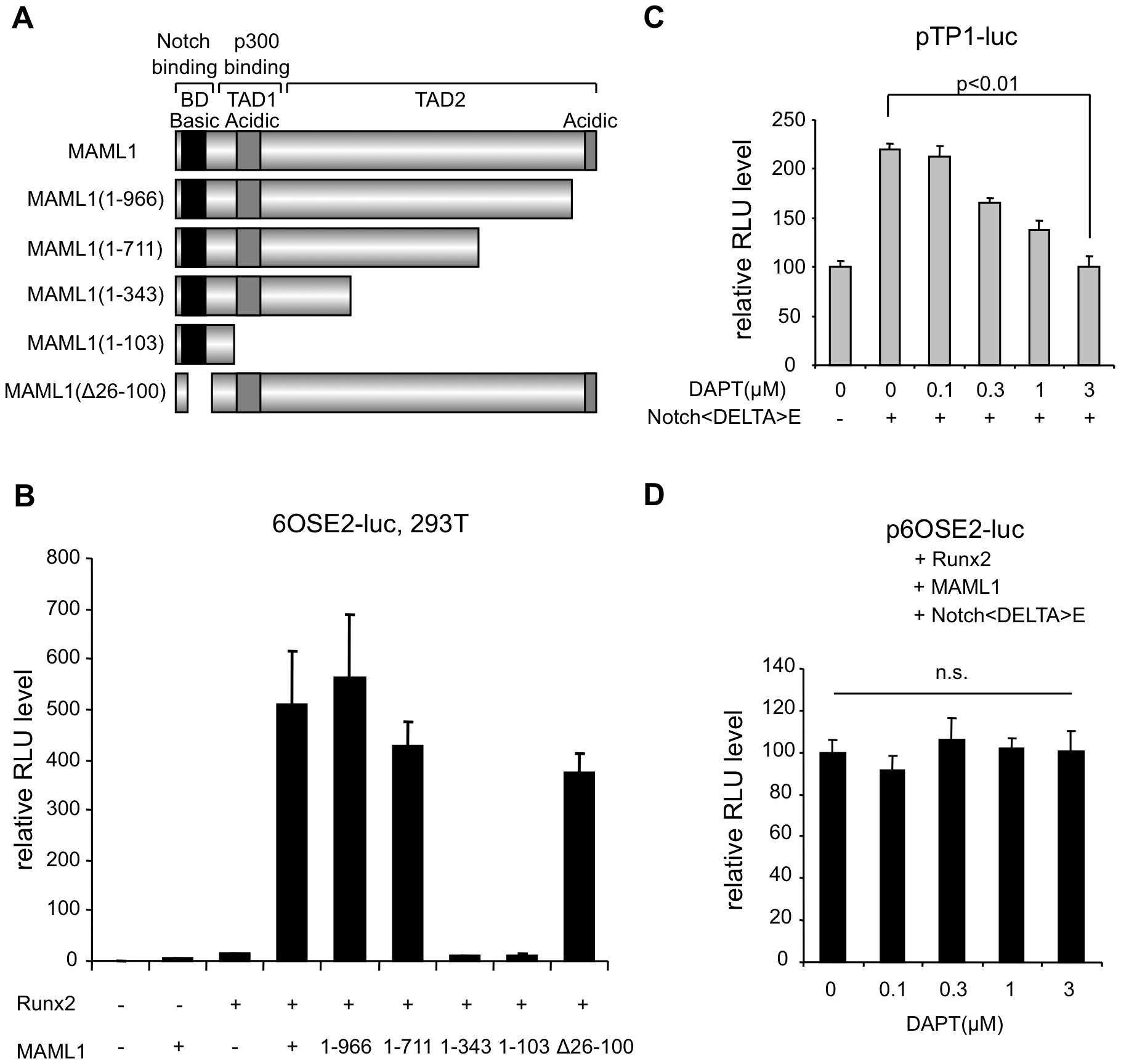 MAML1 enhances Runx2 activity in a Notch-independent manner in vitro.