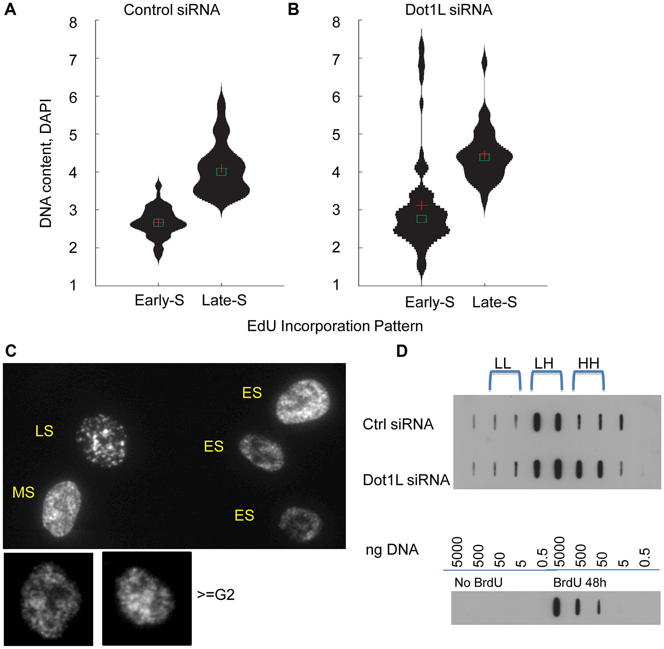 Over-replication in <i>DOT1</i>L depleted cells.
