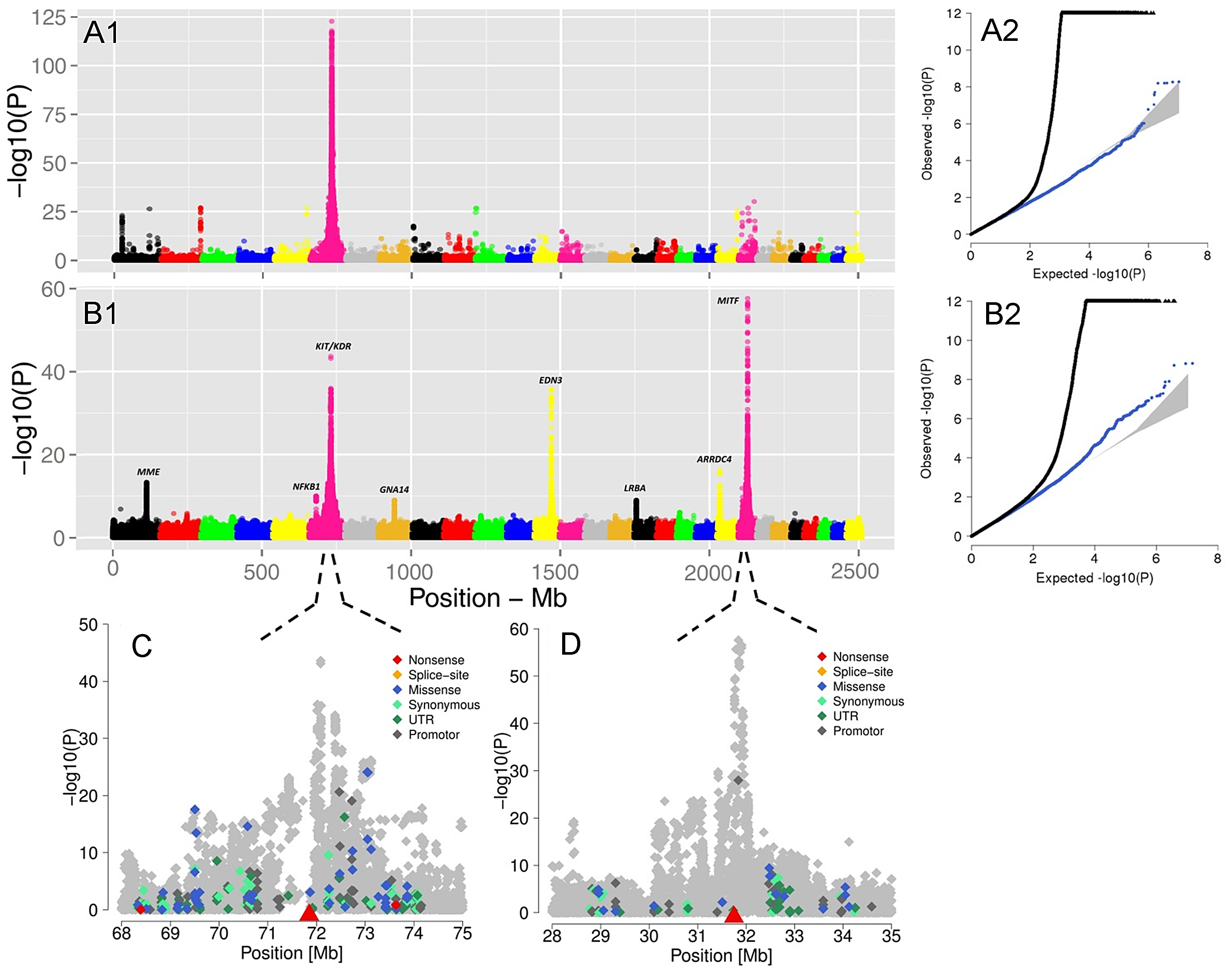 The visualization of the signals revealed by association analyses for coat coloring traits.