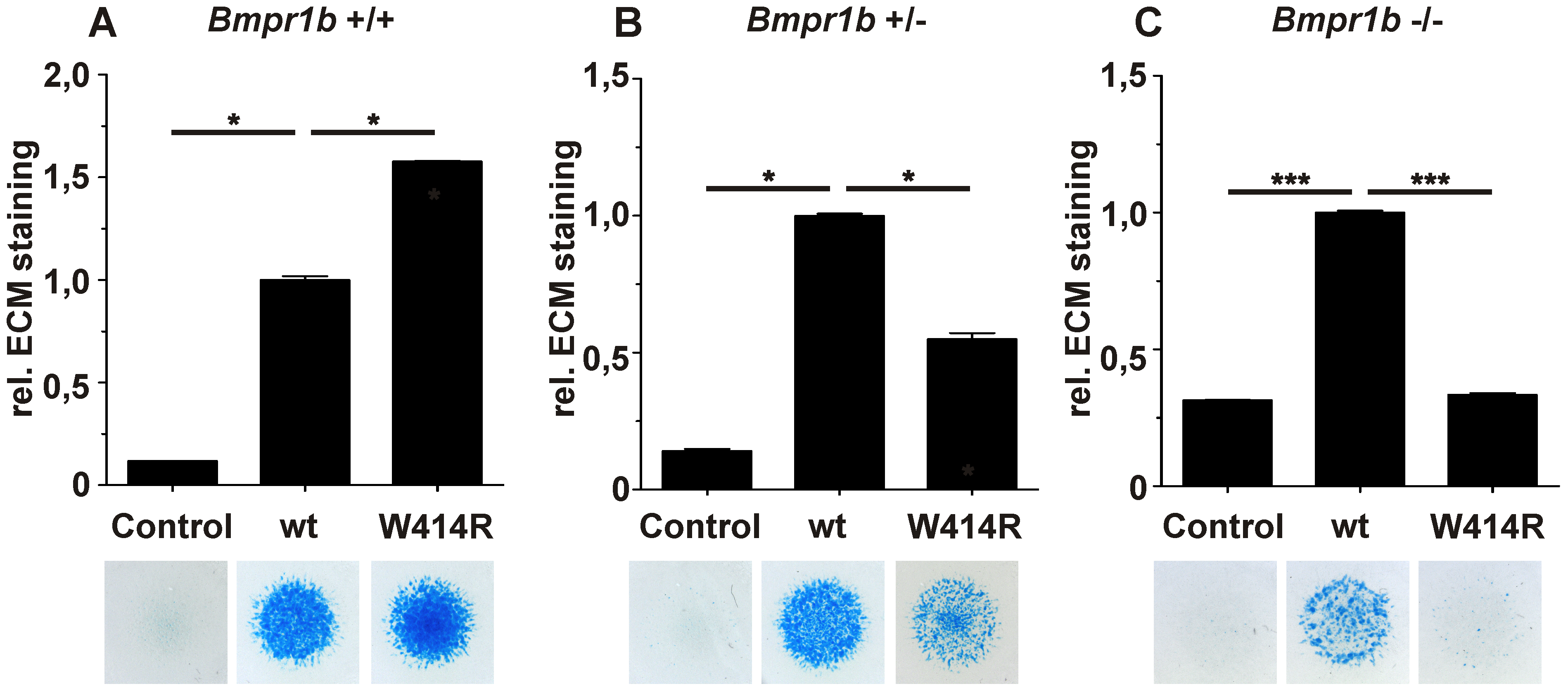 GDF5<sup>W414R</sup> displays reduced chondrocyte differentiation in the absence of <i>Bmpr1b</i>.