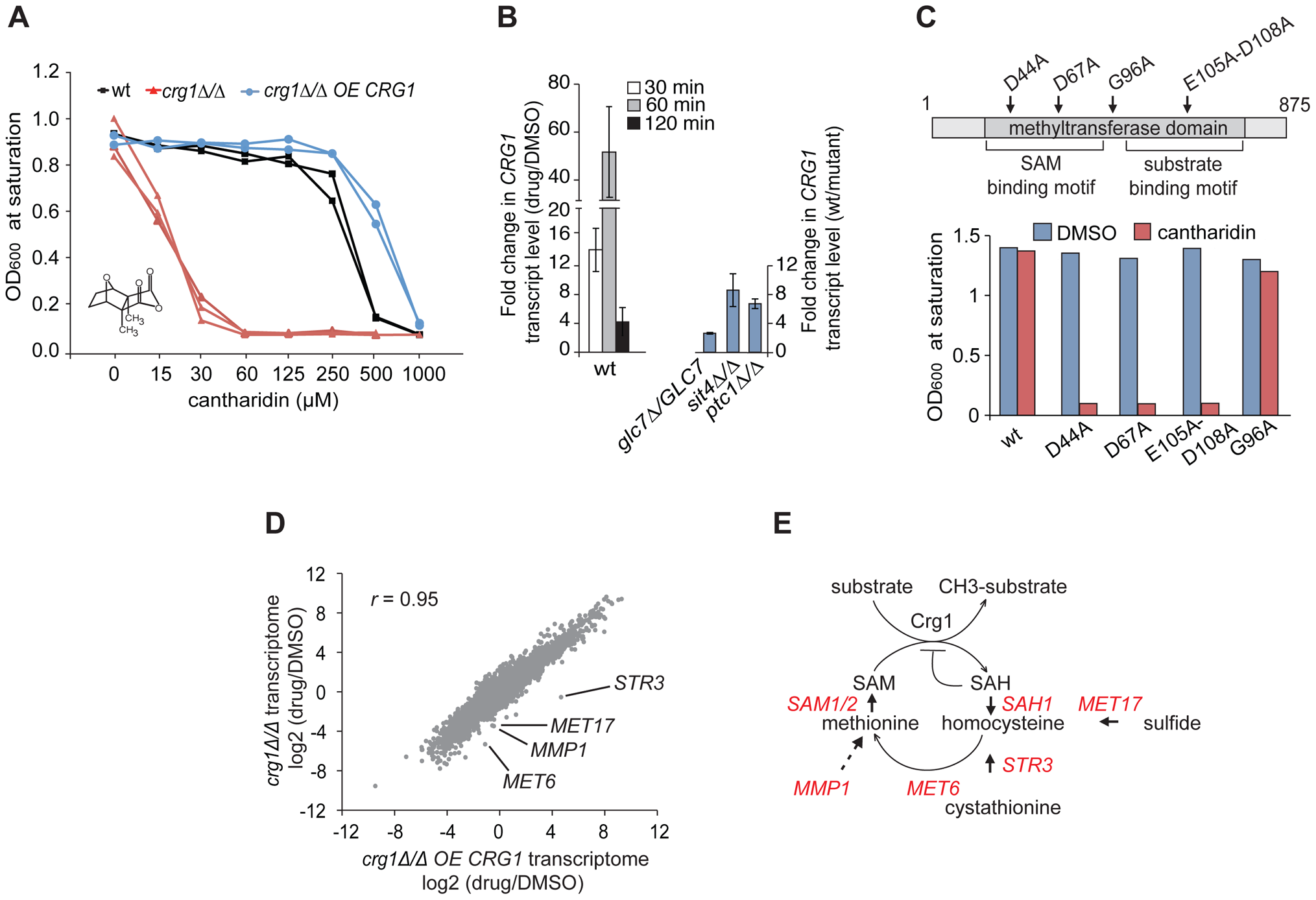 Functional SAM-dependent methyltransferase Crg1 is required for cantharidin response.