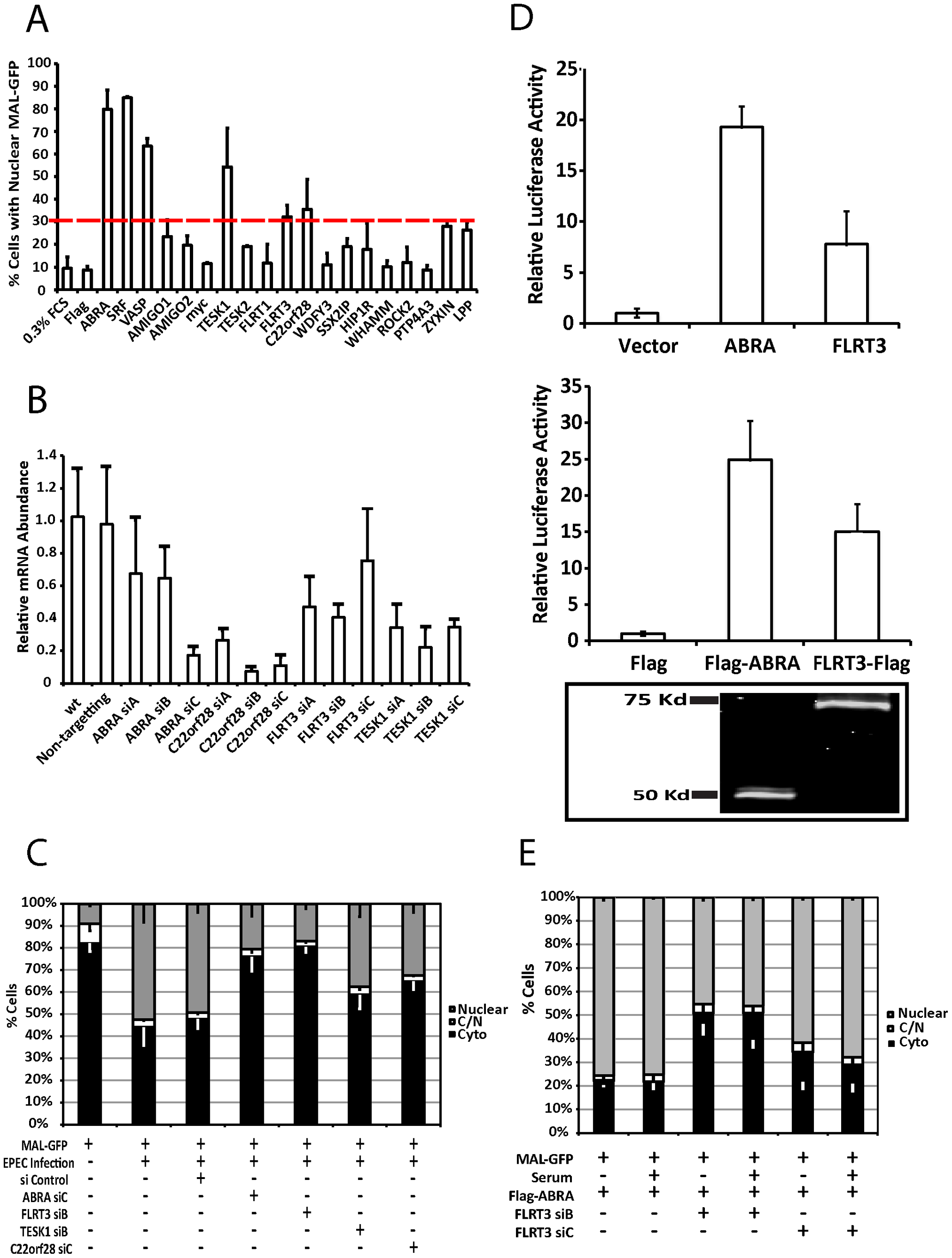 ABRA and FLRT3 are SRF activators required for EPEC-induced MAL-GFP translocation.