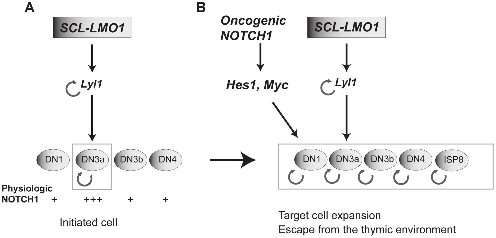 Model of the collaboration between the SCL, LMO1 and <i>Notch1</i> oncogenes.