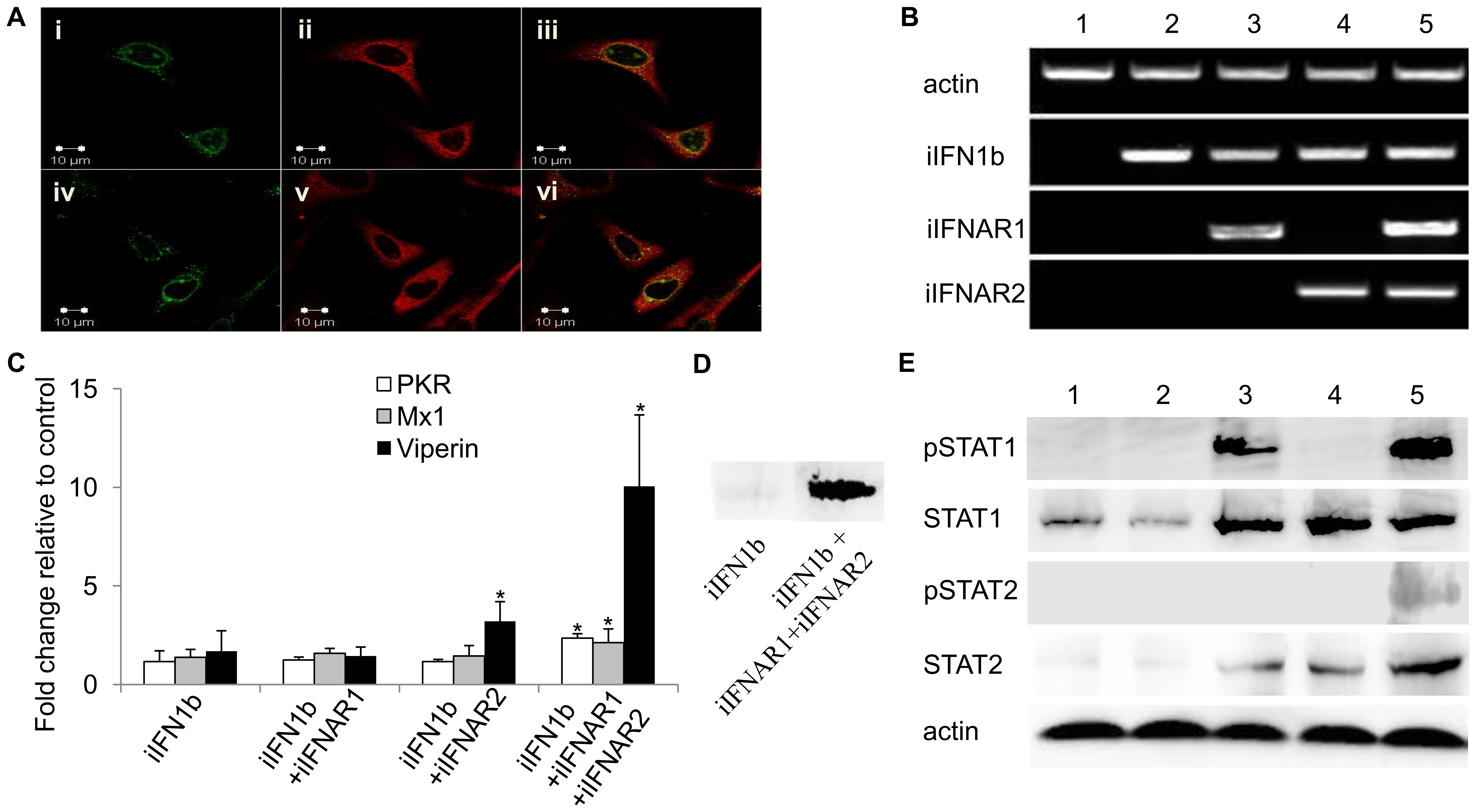 Intracellular IFNs and IFNARs activate antiviral responses via STAT1 and STAT2 phosphorylation.