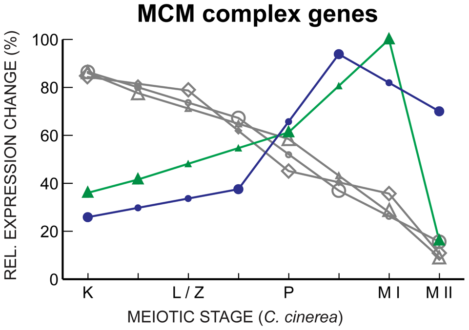 MCM complex gene expression declines through meiosis, with key exceptions.