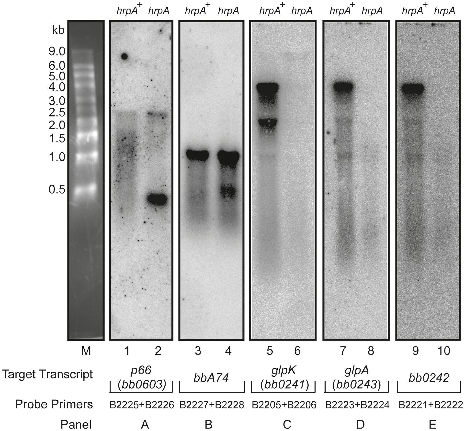 Northern blot analysis of p66, <i>oms28, glpK bb0242 and glpA</i>.