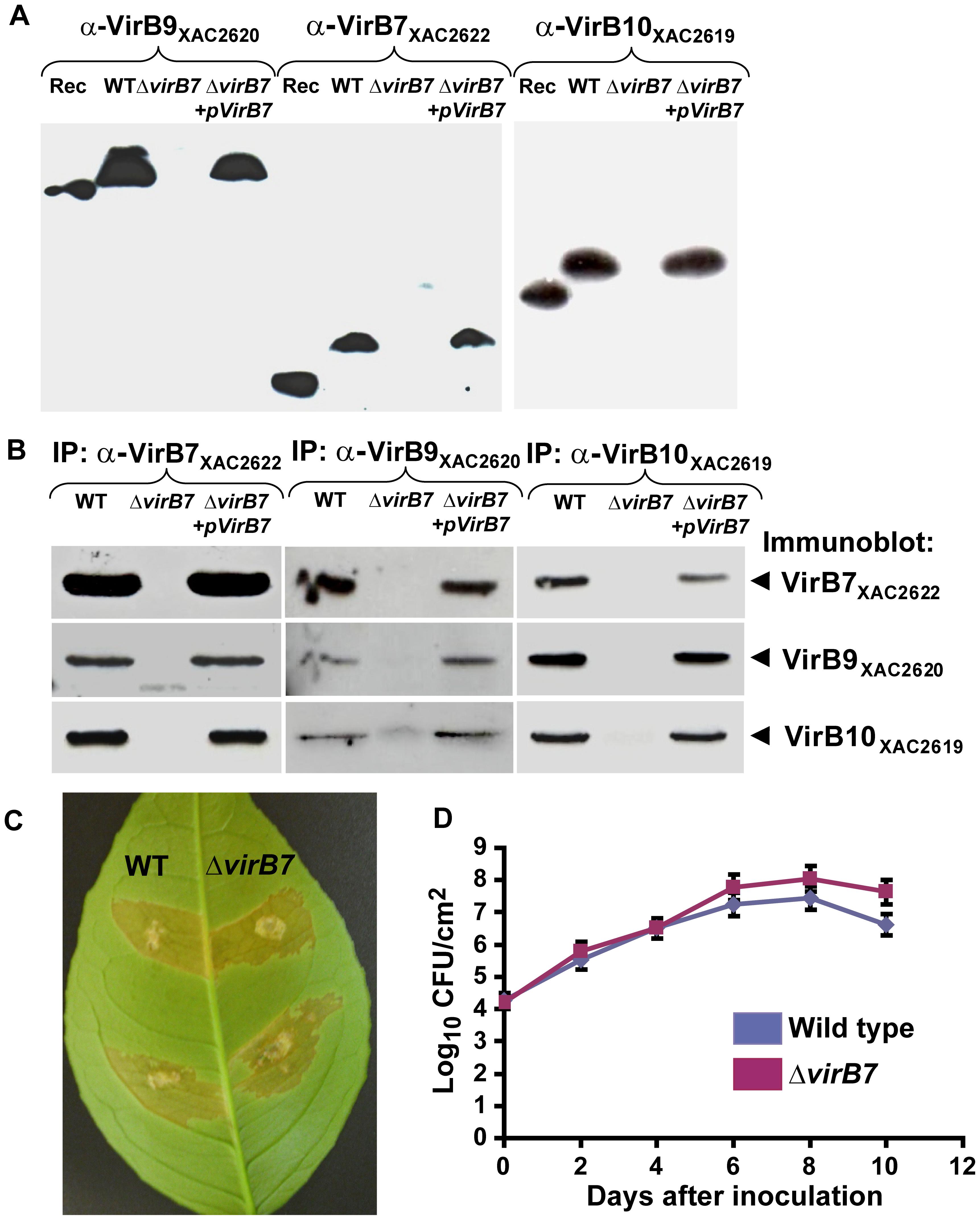 A complex between VirB7<sub>XAC2622</sub>, VirB9<sub>XAC2620</sub> and VirB10<sub>XAC2619</sub> is formed <i>in vivo</i> in Xac cells.
