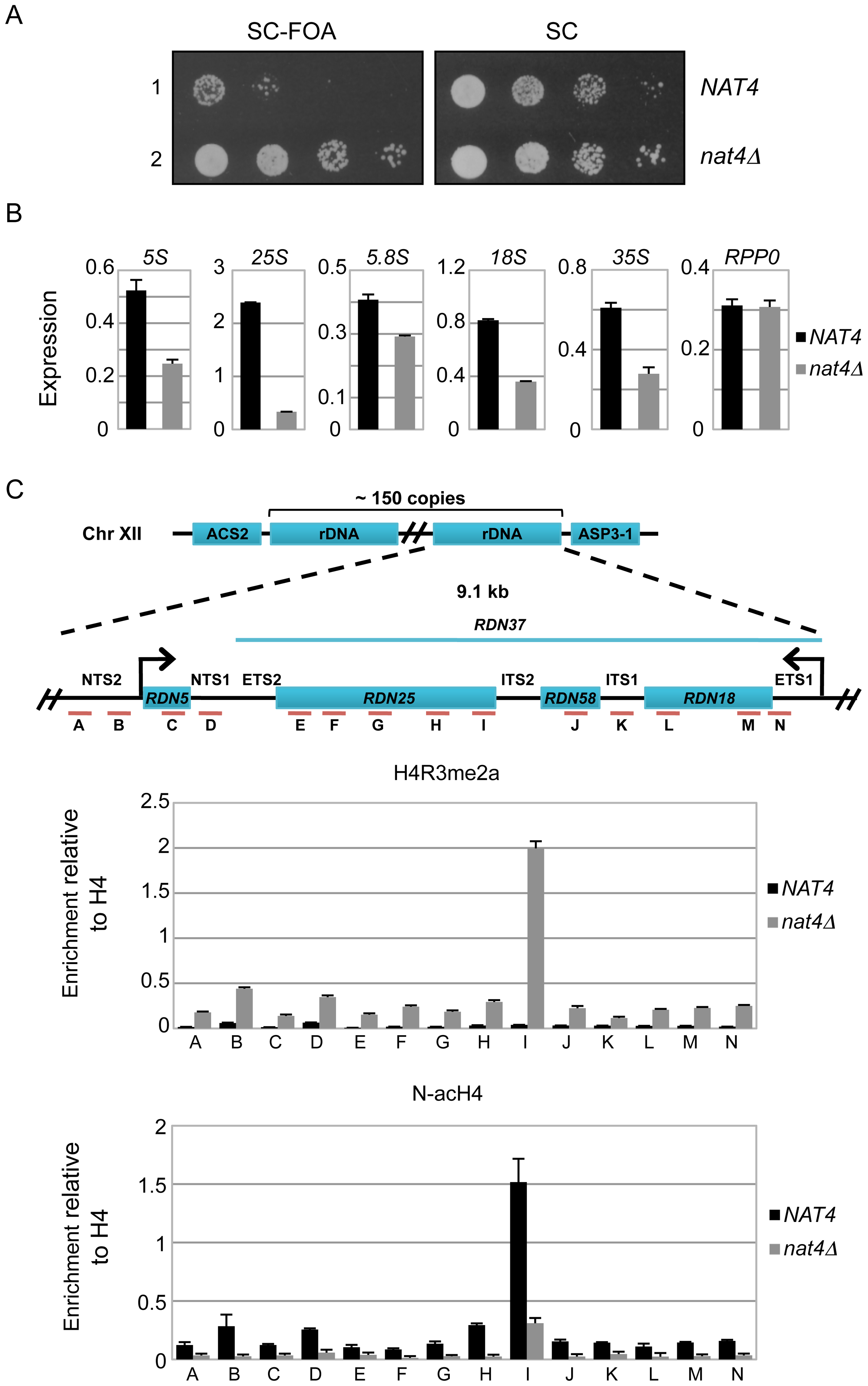 Deletion of <i>NAT4</i> enhances silencing and H4R3me2a deposition across the <i>rDNA</i> locus.