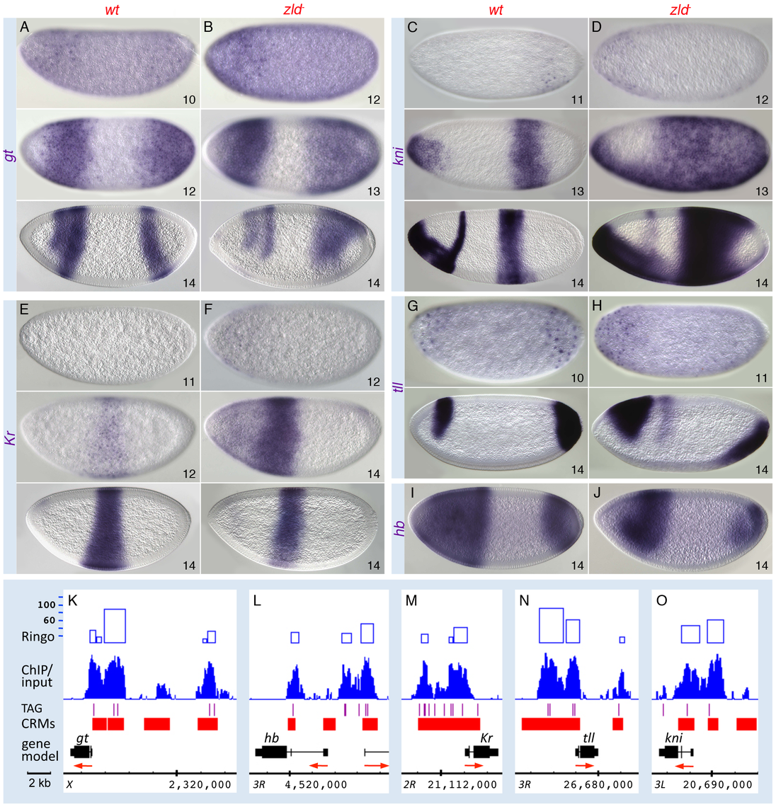 Zld regulates timing within the gap gene network.