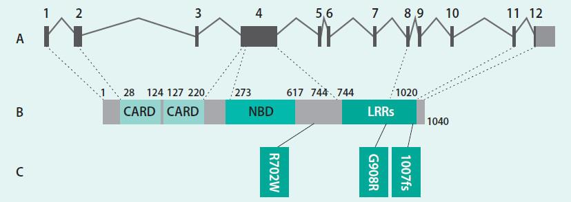Schéma. Schematické znázornění genu a proteinu NOD2/CARD15. Upraveno podle [22]