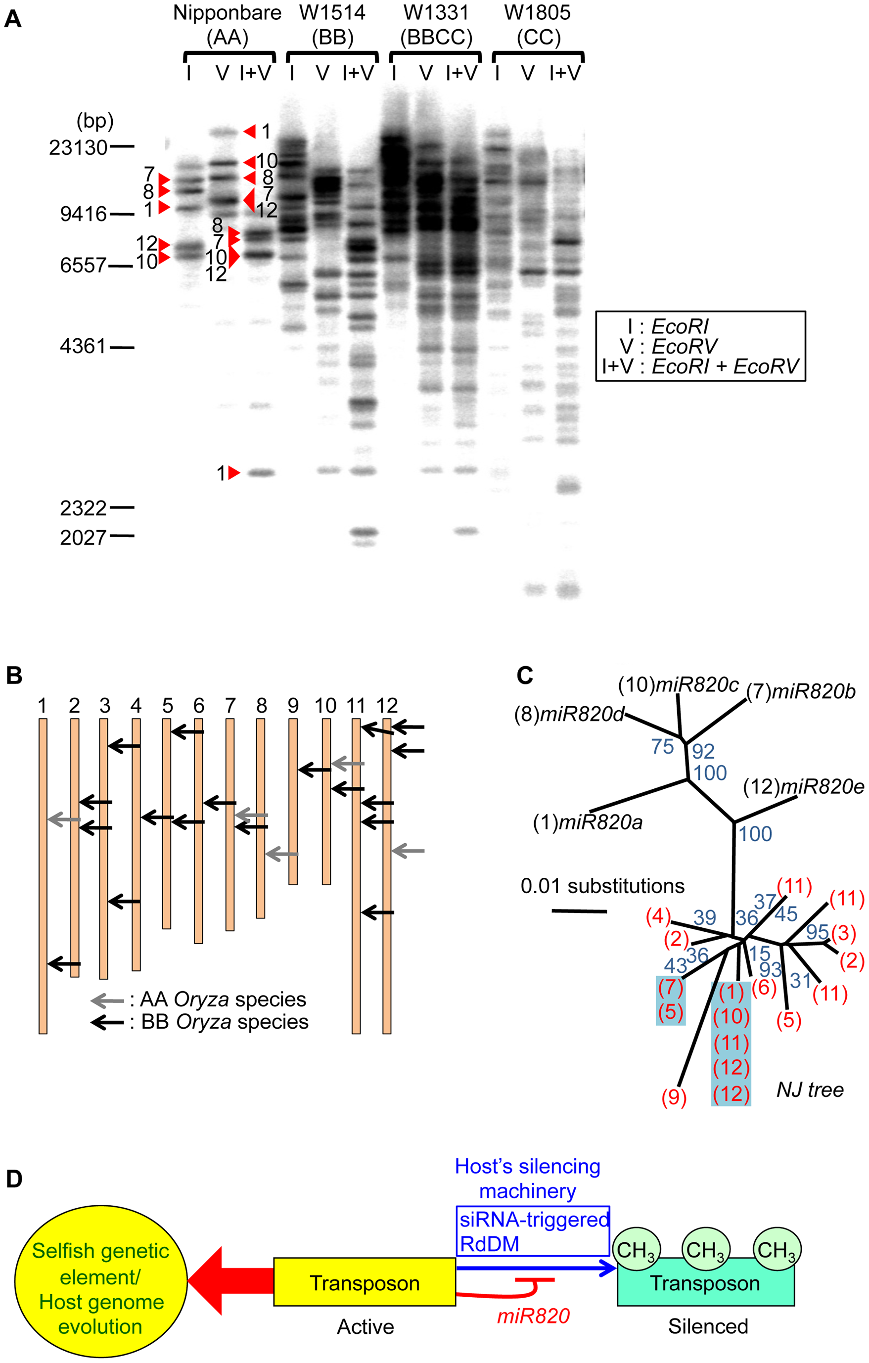 Increased copy number of CACTA carrying <i>pre-miR820</i> in the BB/BBCC genome.