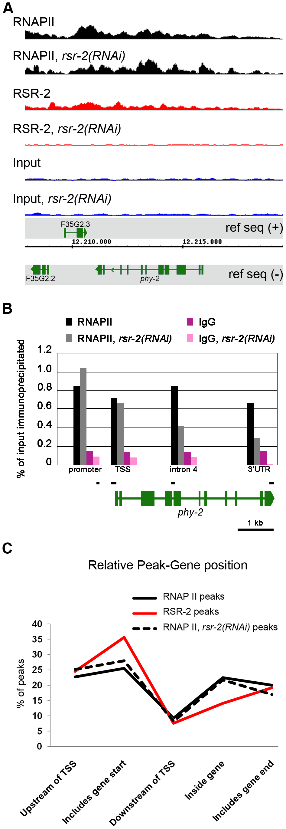 RSR-2 is associated with chromatin and modifies RNAPII distribution.