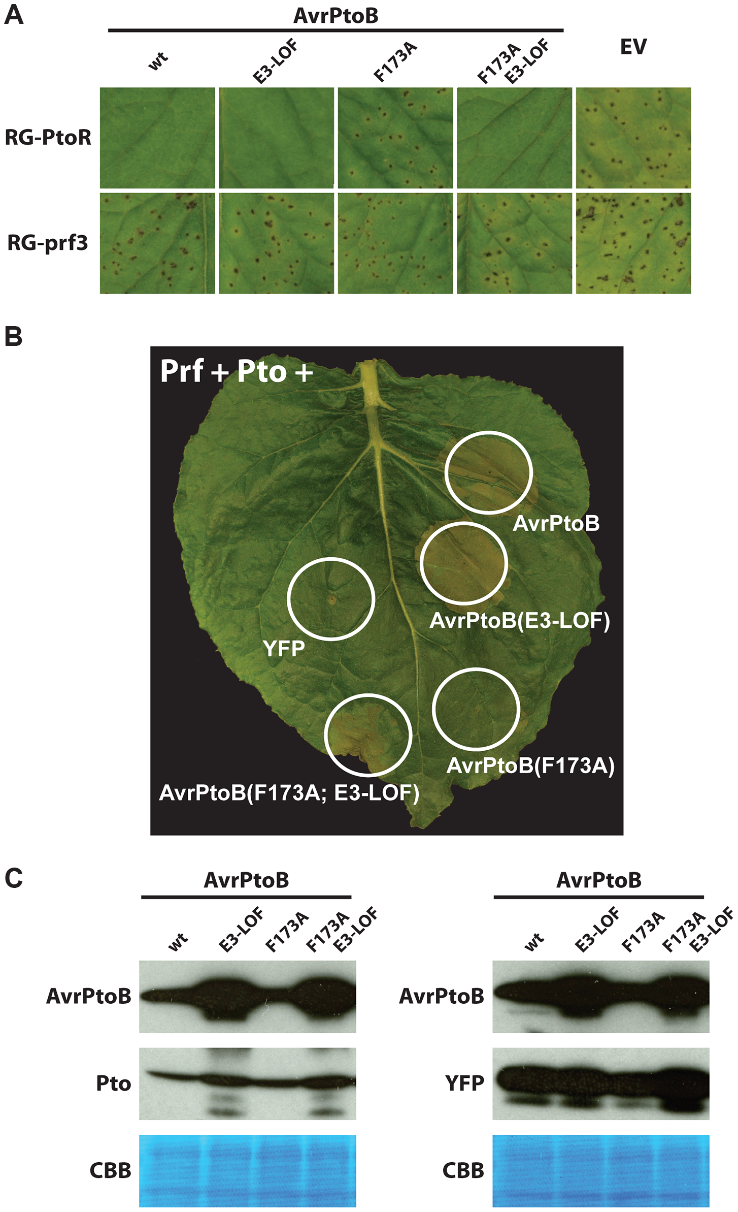 Pto binds to the FID in plant cells and is degraded by activity of the AvrPtoB E3 ligase.