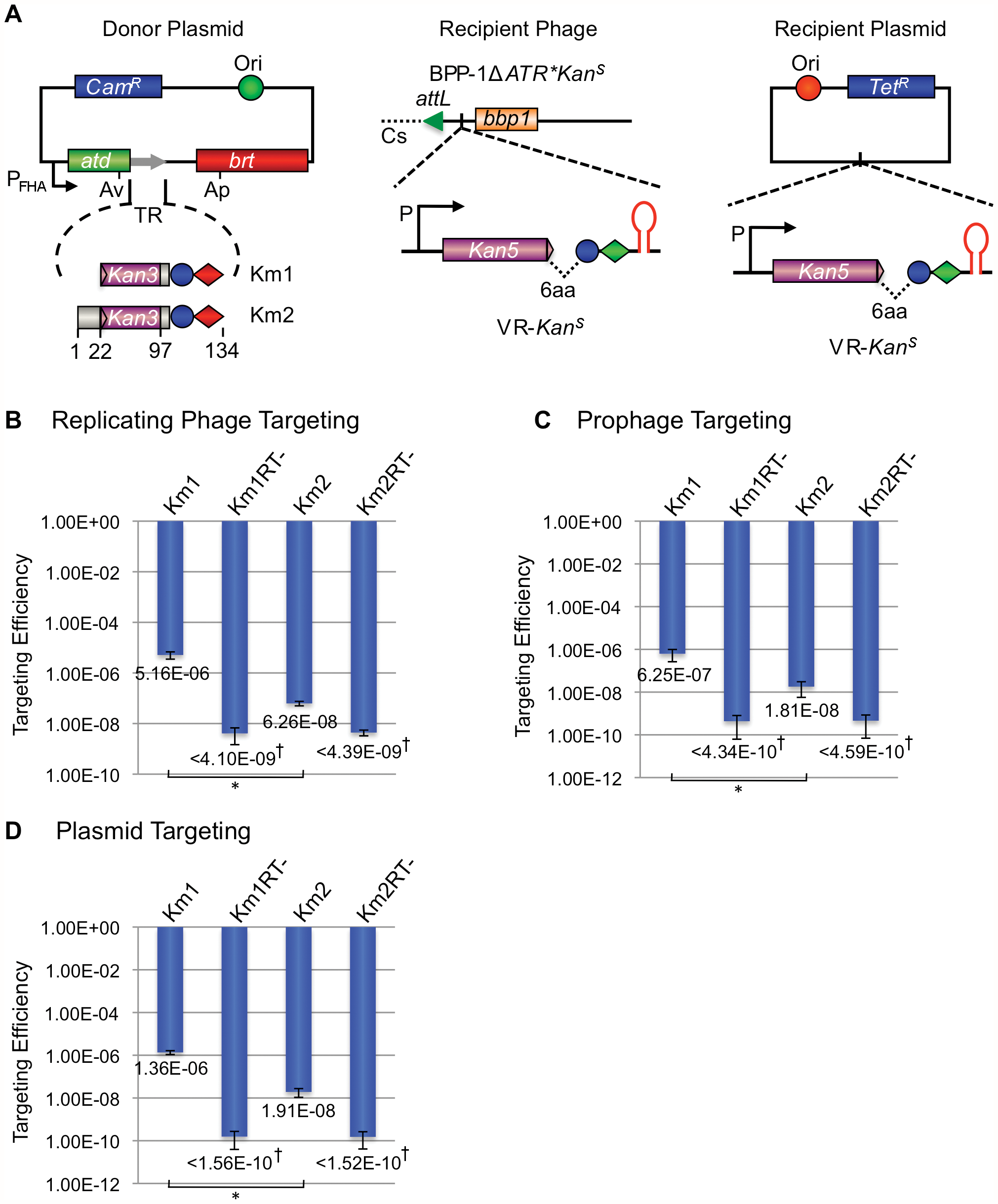 The BPP-1 DGR can be engineered to target a kanamycin-resistance gene.