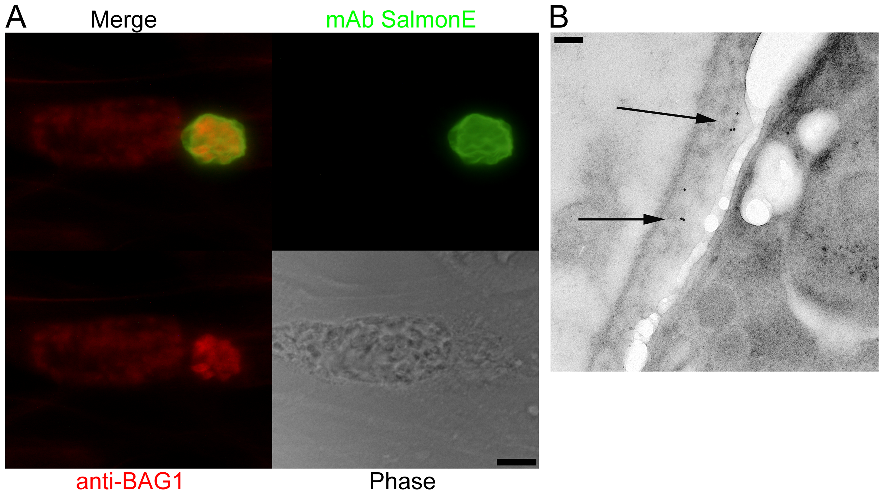 Monoclonal antibody SalmonE binds to the cyst wall of cysts isolated <i>in vitro</i> and <i>in vivo</i>.