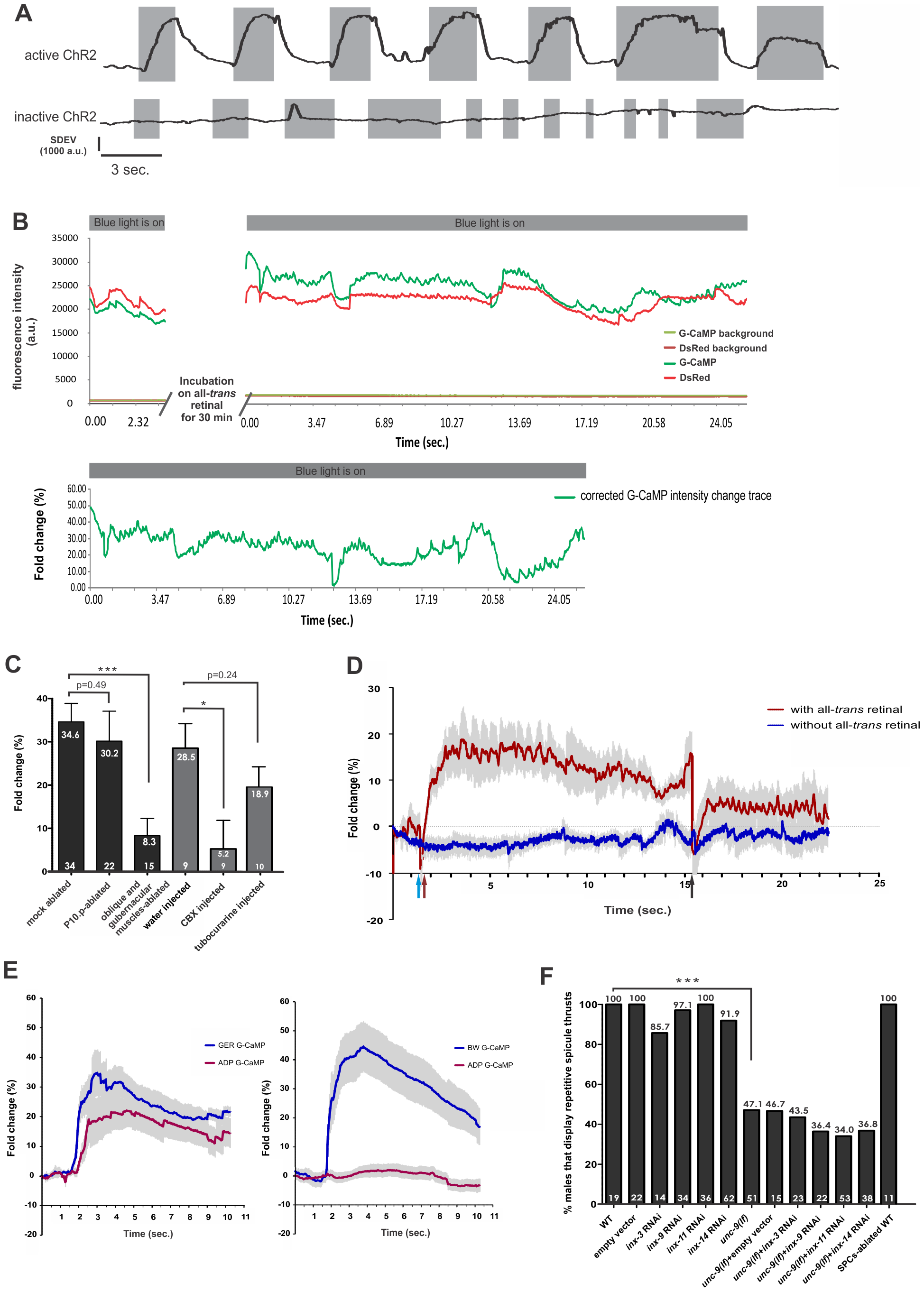 Stimulation of the gubernacular-oblique muscle group induces repetitive spicule thrusts and Ca<sup>2+</sup> transients in the spicule protractor-anal depressor muscles.