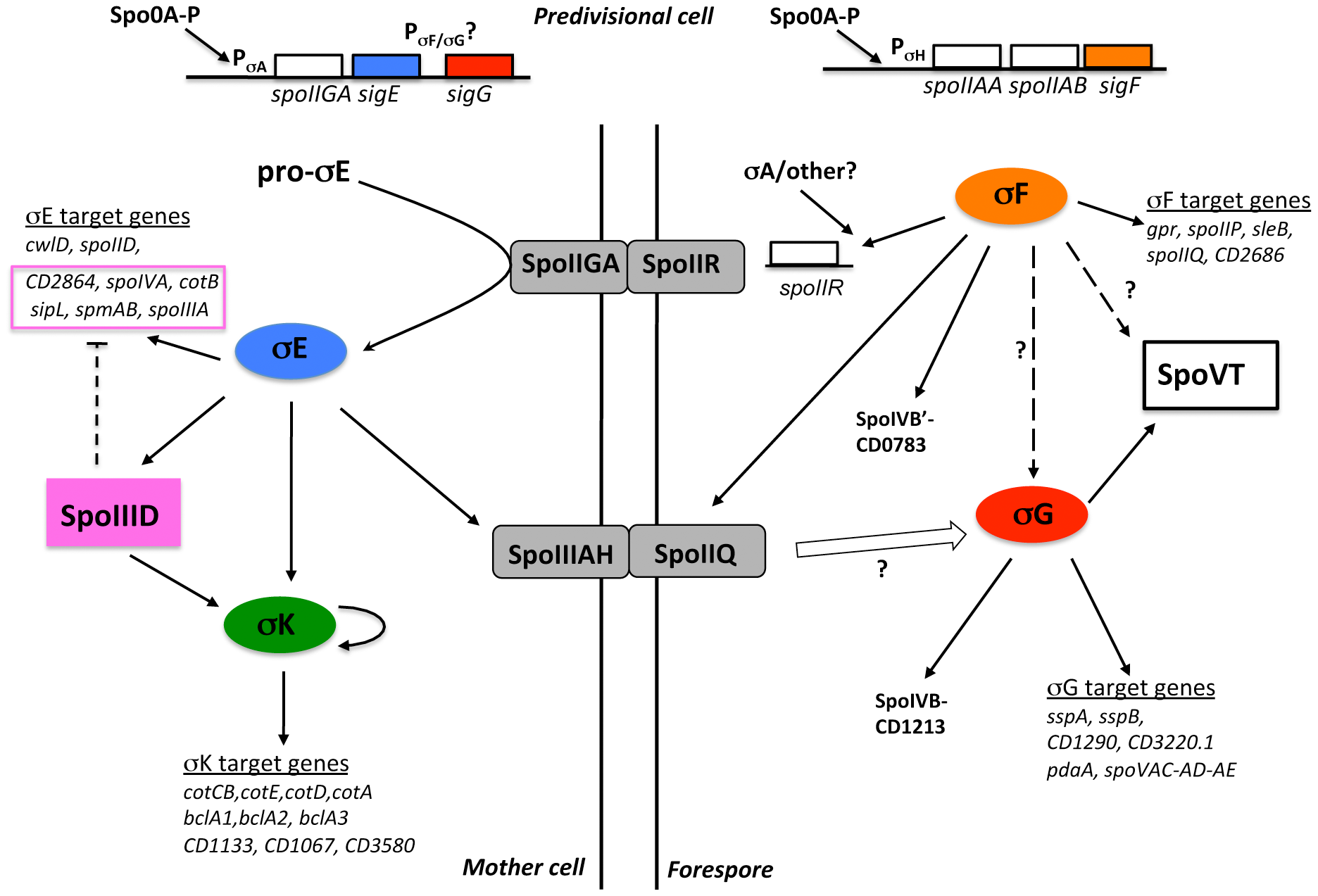 Model of the regulatory network controlling sporulation in <i>C. difficile</i>.