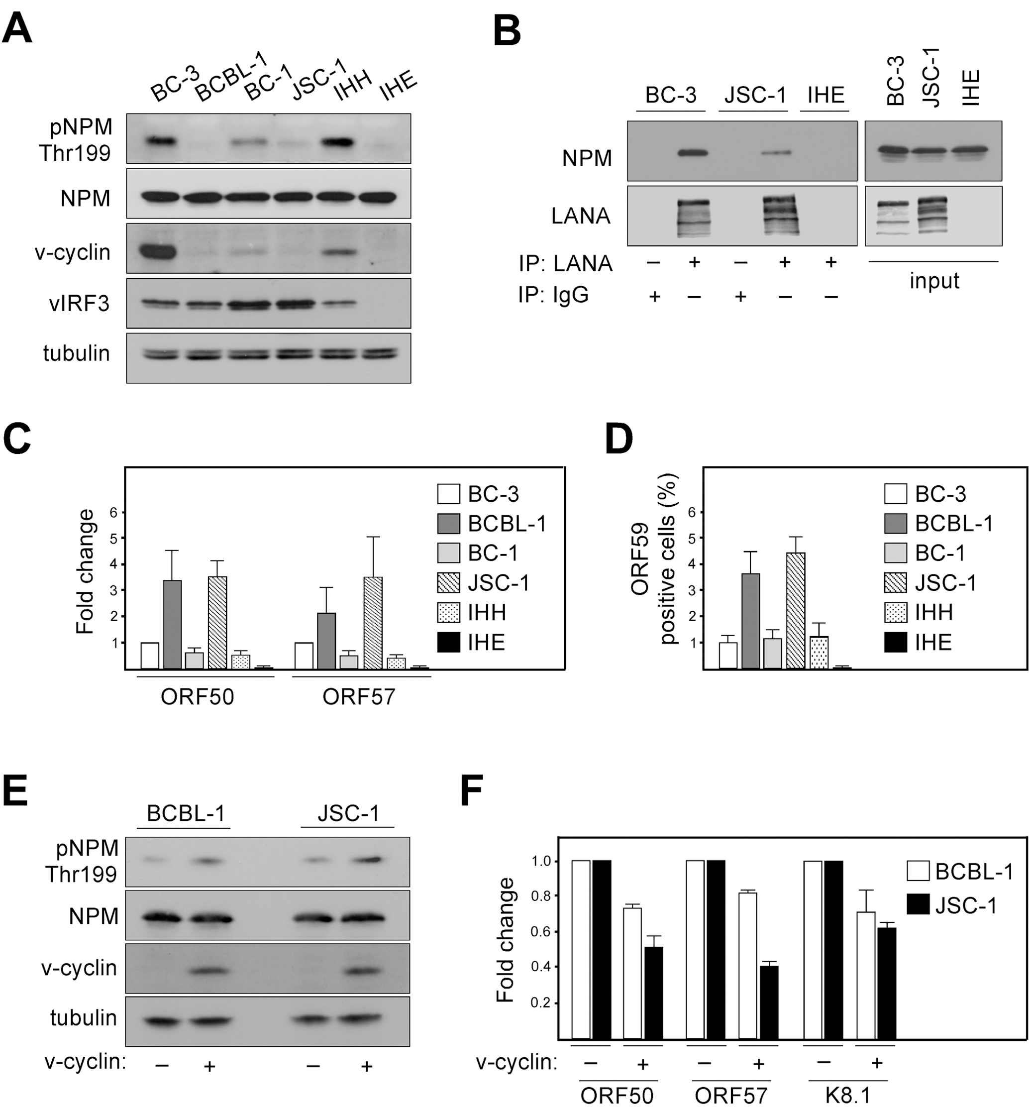 Phosphorylation of NPM correlates with KSHV latency.