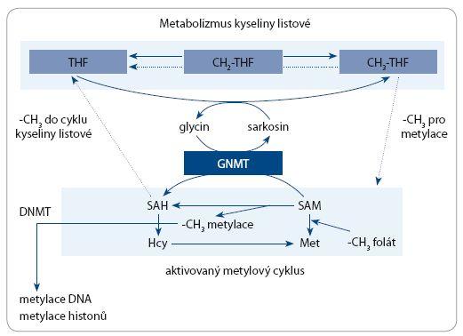 Schéma 1. Glycin-N-metytransferáza (GNMT) katalyzuje přeměnu S-adenosyl methioninu (SAM) na S-adenosyl homocystein (SAH) a metyluje glycin na sarkosin.