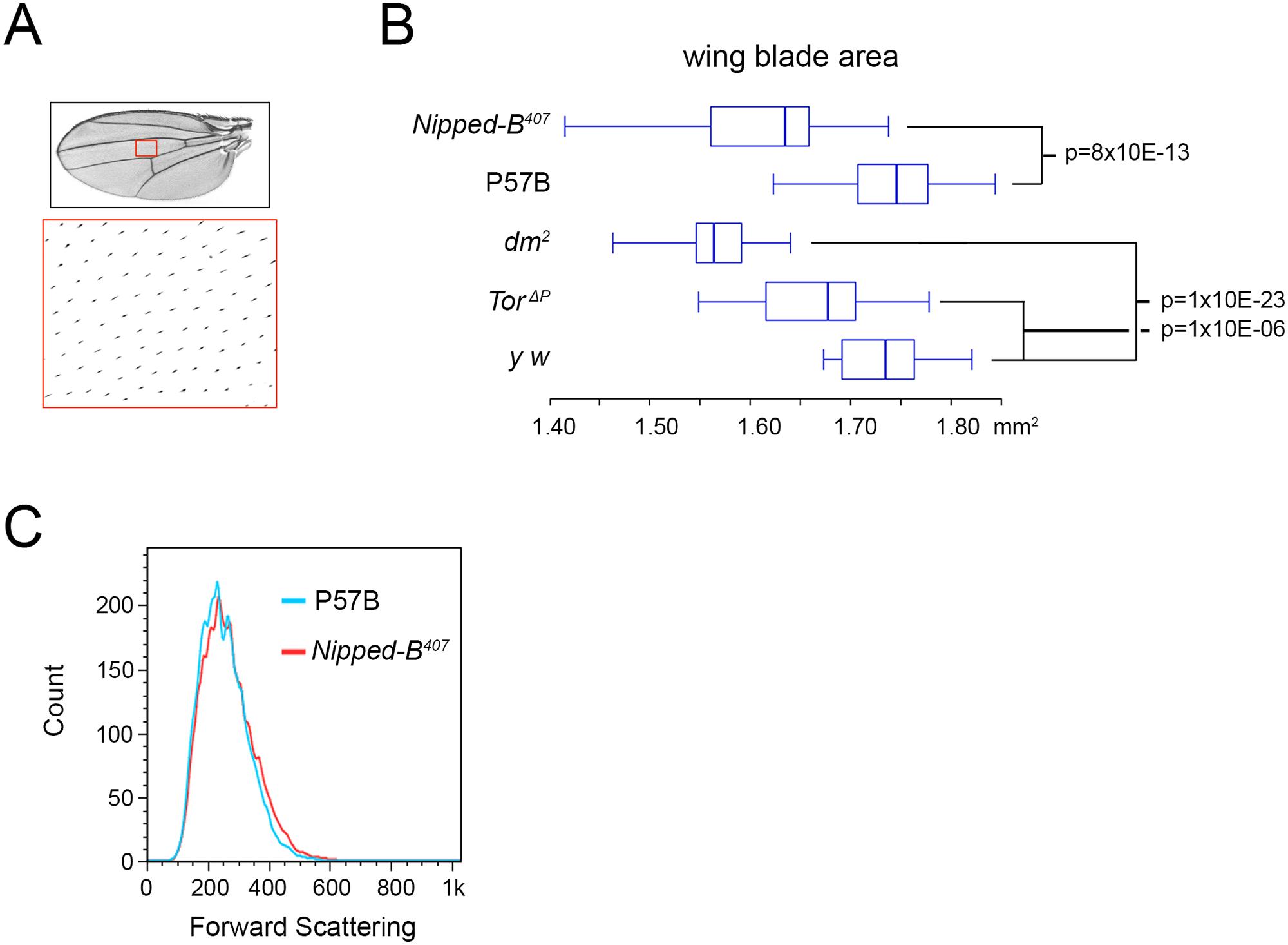 <i>Nipped-B</i>, <i>dm</i>, and <i>Tor</i> mutations reduce adult wing size.