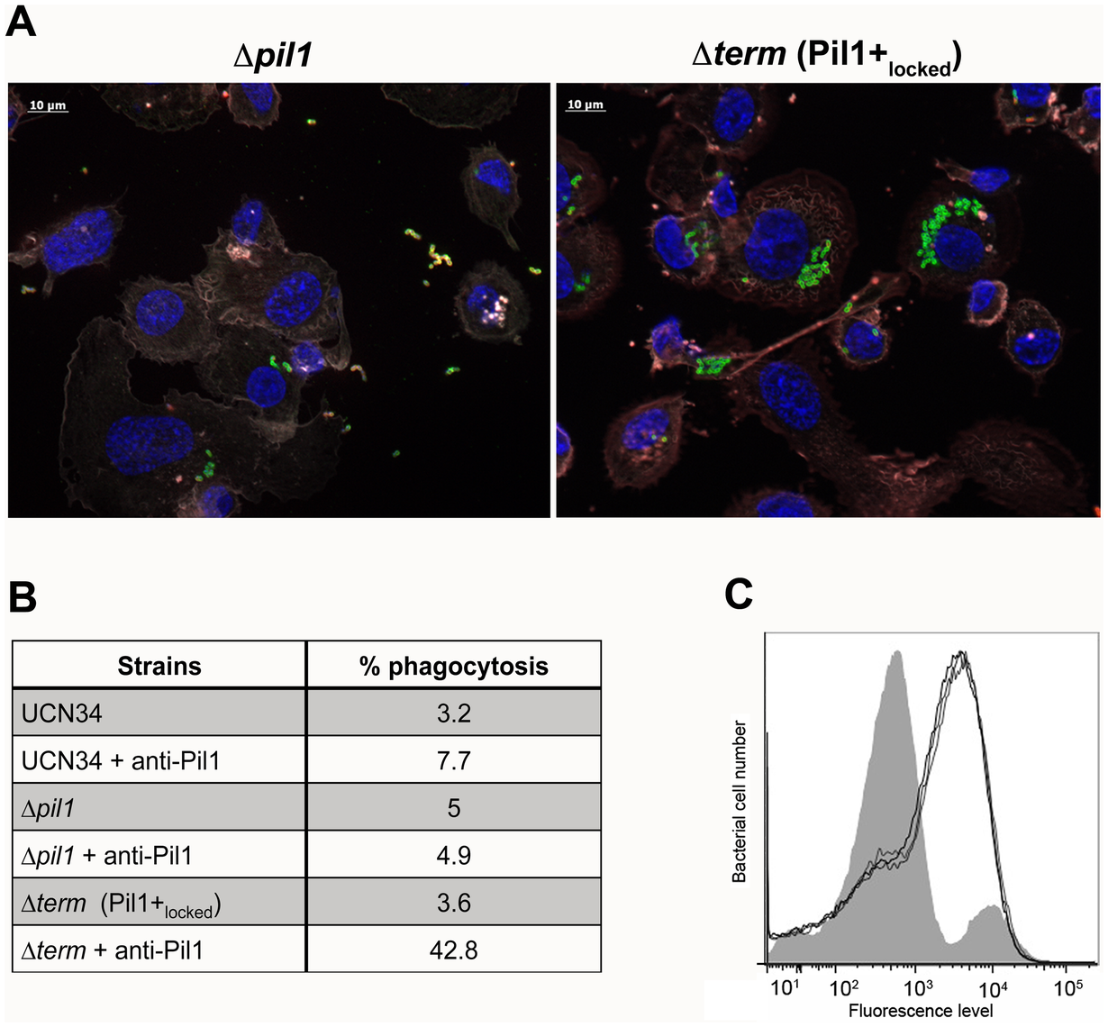 Uptake of <i>S. gallolyticus</i> UCN34 WT, Δ<i>pil1</i>, and Δ<i>term</i> (Pil1+<sub>locked</sub>) strains by human THP-1 macrophages.