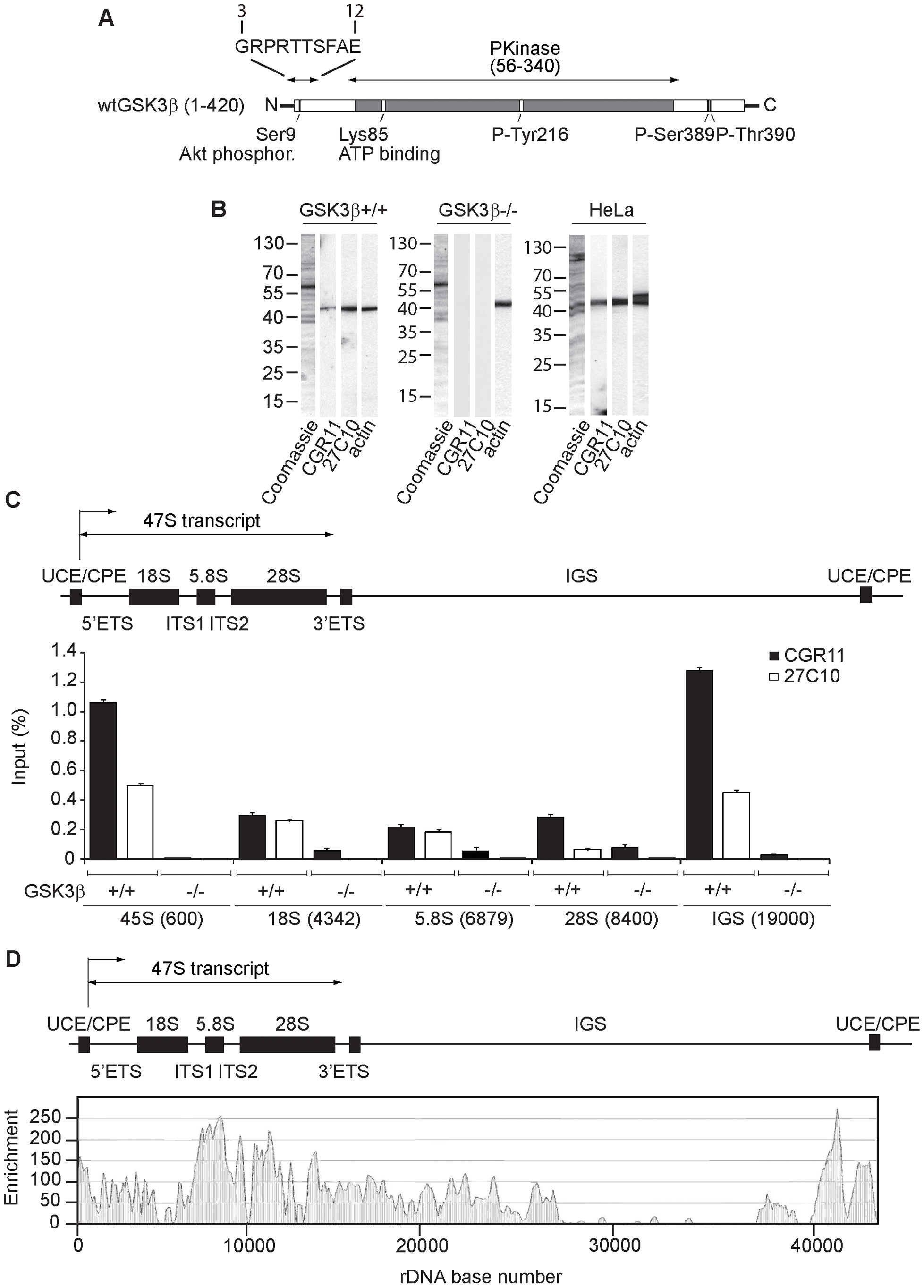 GSK3β distributes through the entire rDNA transcription unit, occupying the rRNA gene promoter and transcribed sequences.