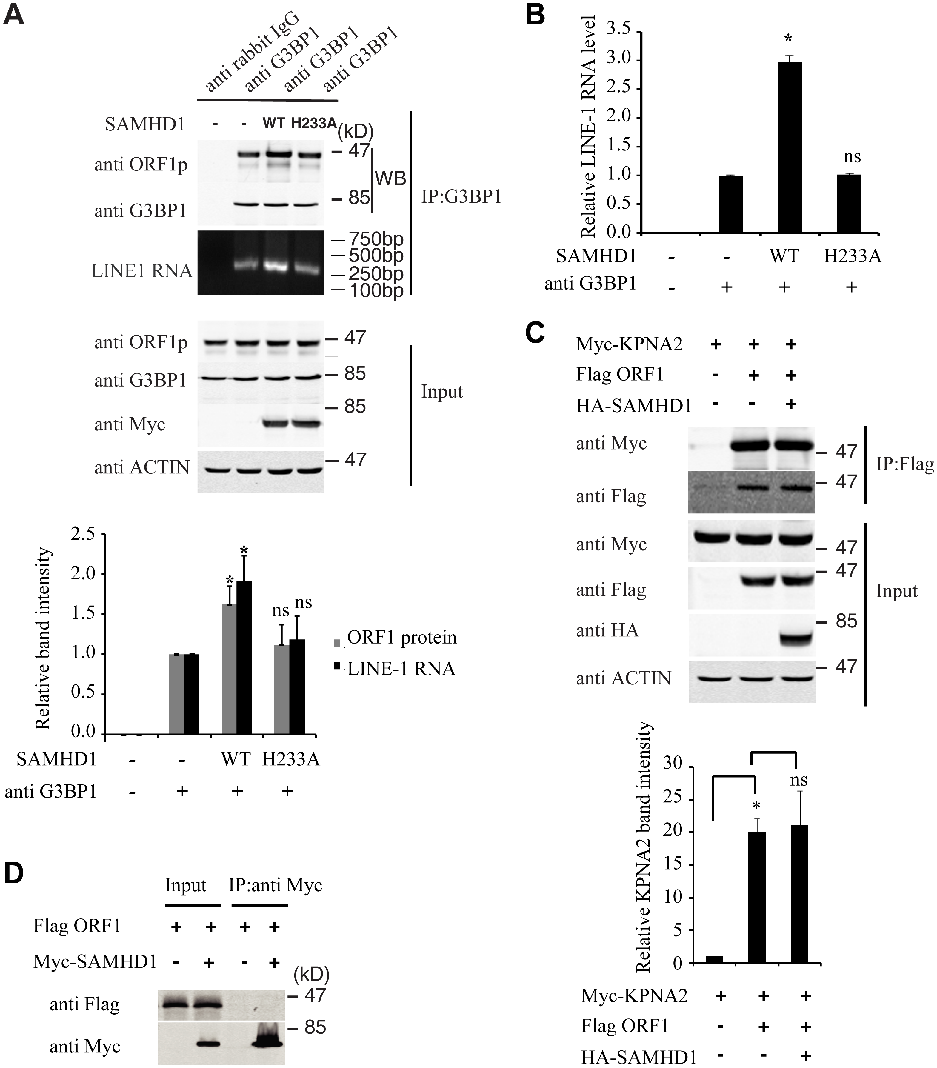 SAMHD1 increases LINE-1 RNP sequestration in stress granules.