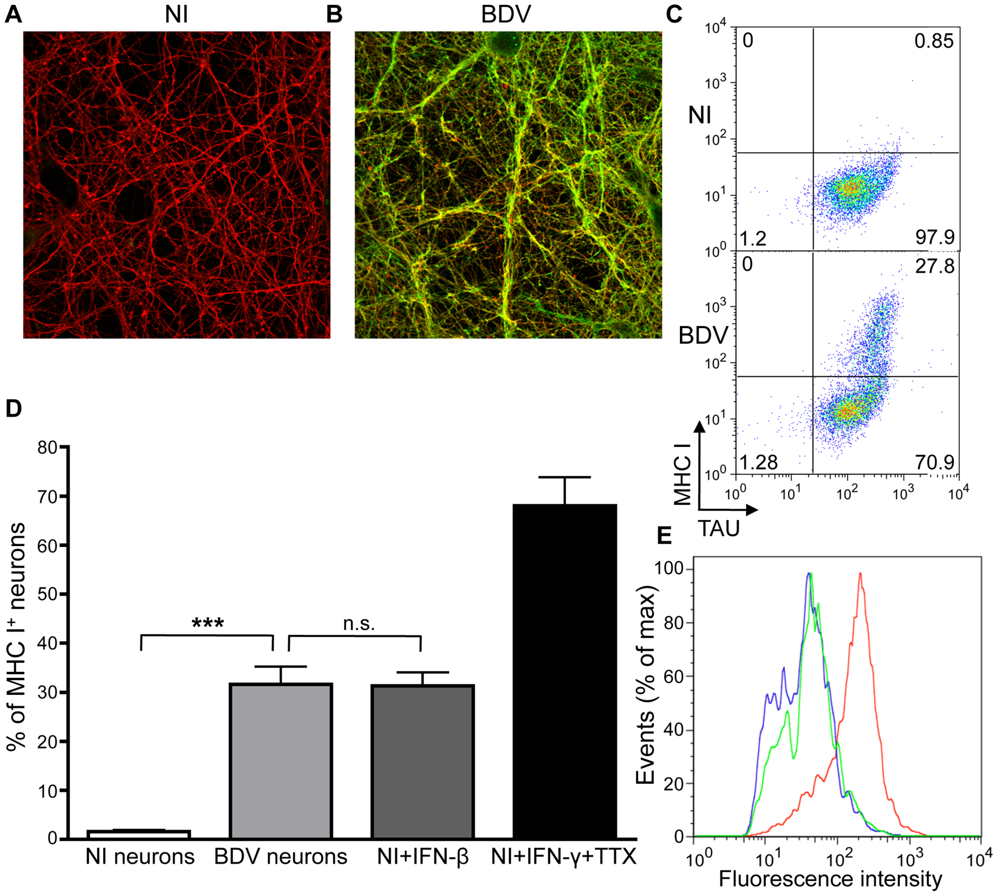 BDV infection induces MHC I expression on neurons.