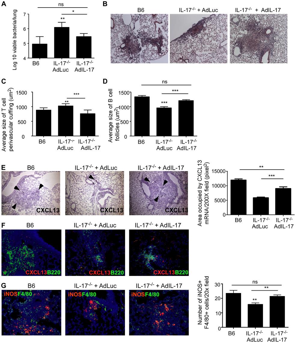 Adenoviral IL-17 overexpression reverses the increased susceptibility to <i>Mtb</i> HN878 infection in IL-17<sup>−/−</sup> mice.